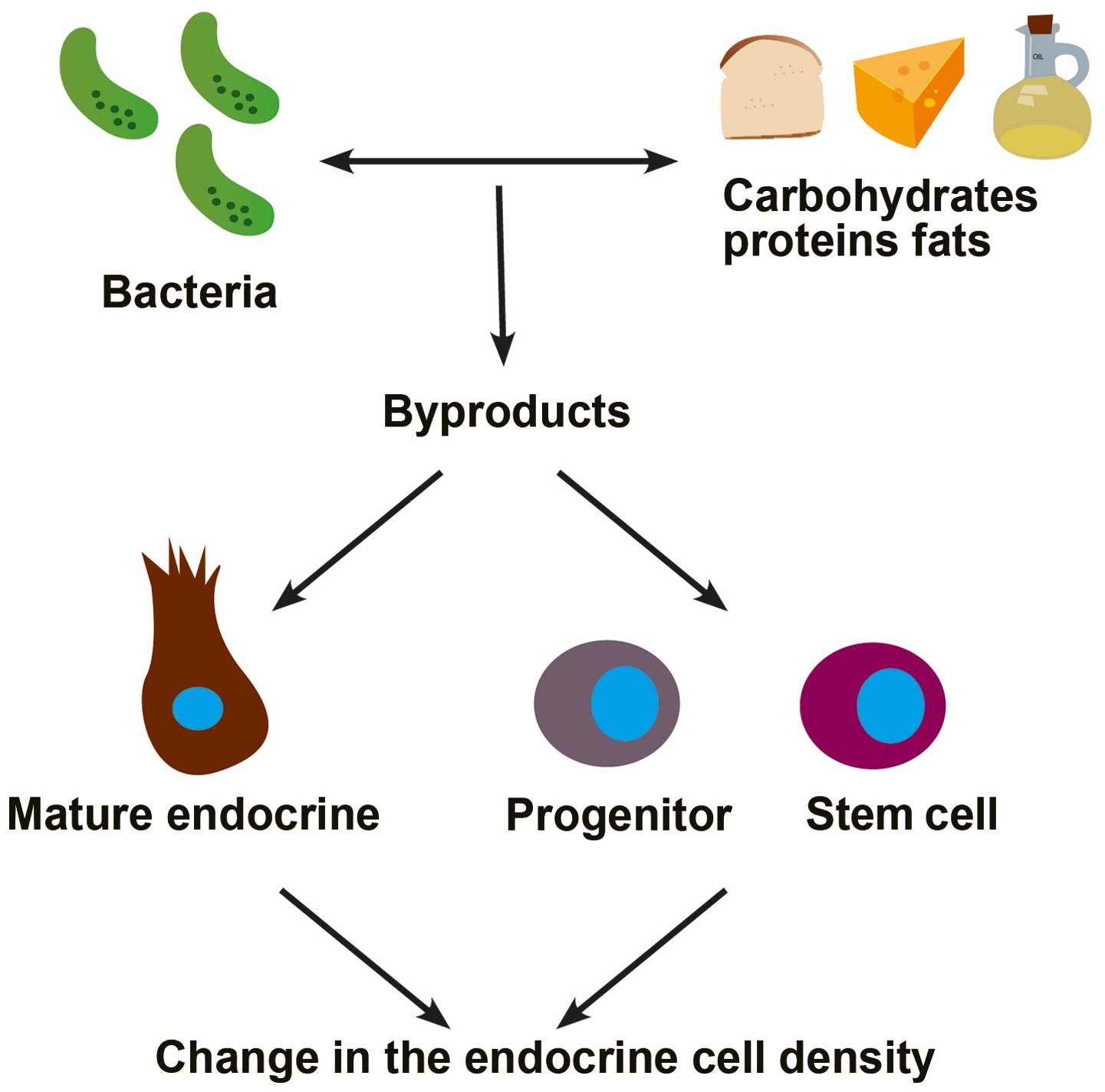 Interaction between diet and gastrointestinal endocrine cells (Review)