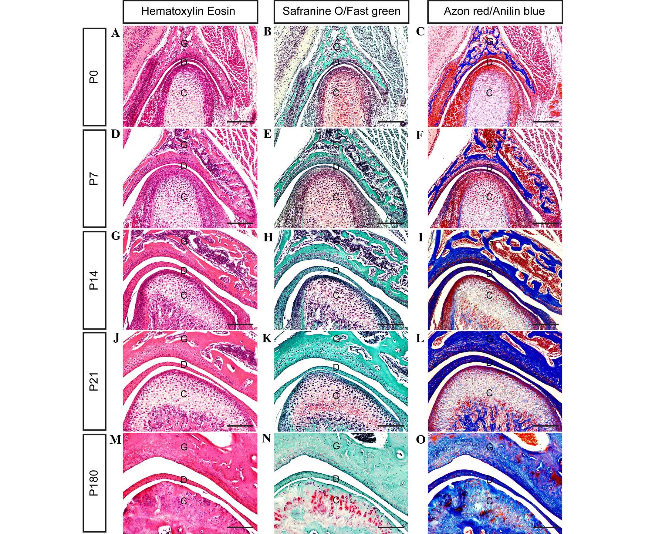 Observing the development of the temporomandibular joint in ...