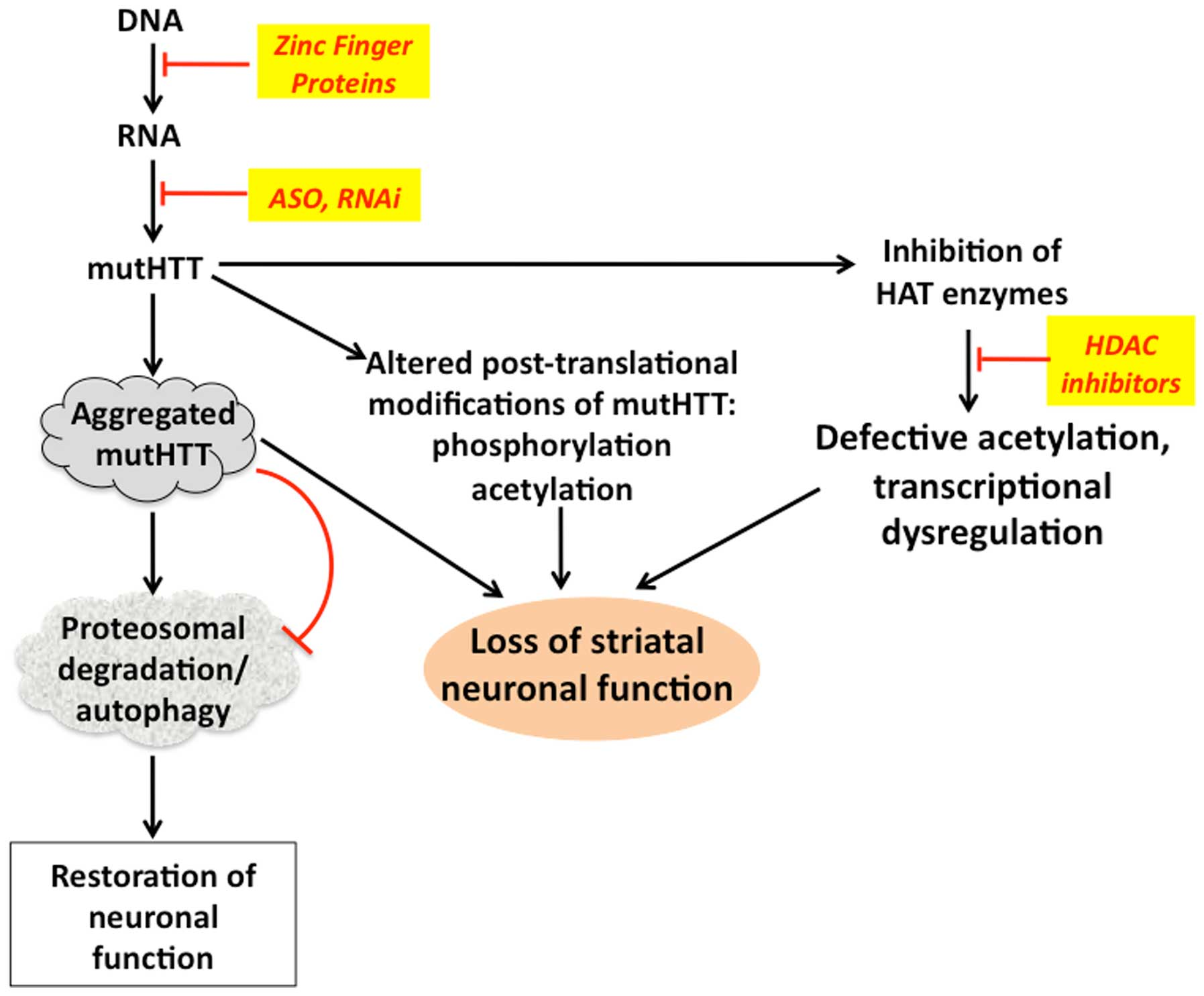Huntington S Disease Molecular Basis Of Pathology And Status Of Current Therapeutic Approaches Review