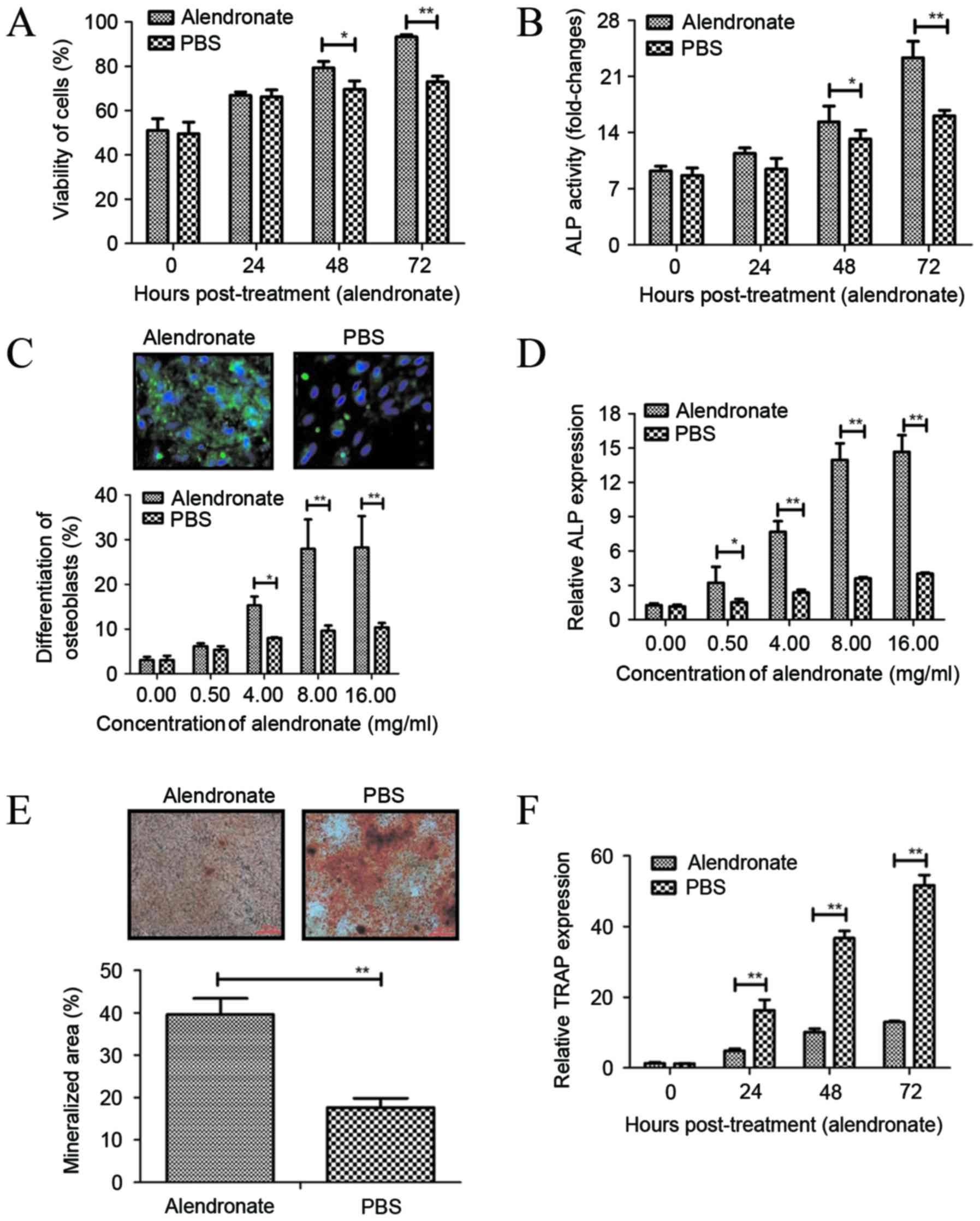 Alendronate promotes osteoblast differentiation and bone