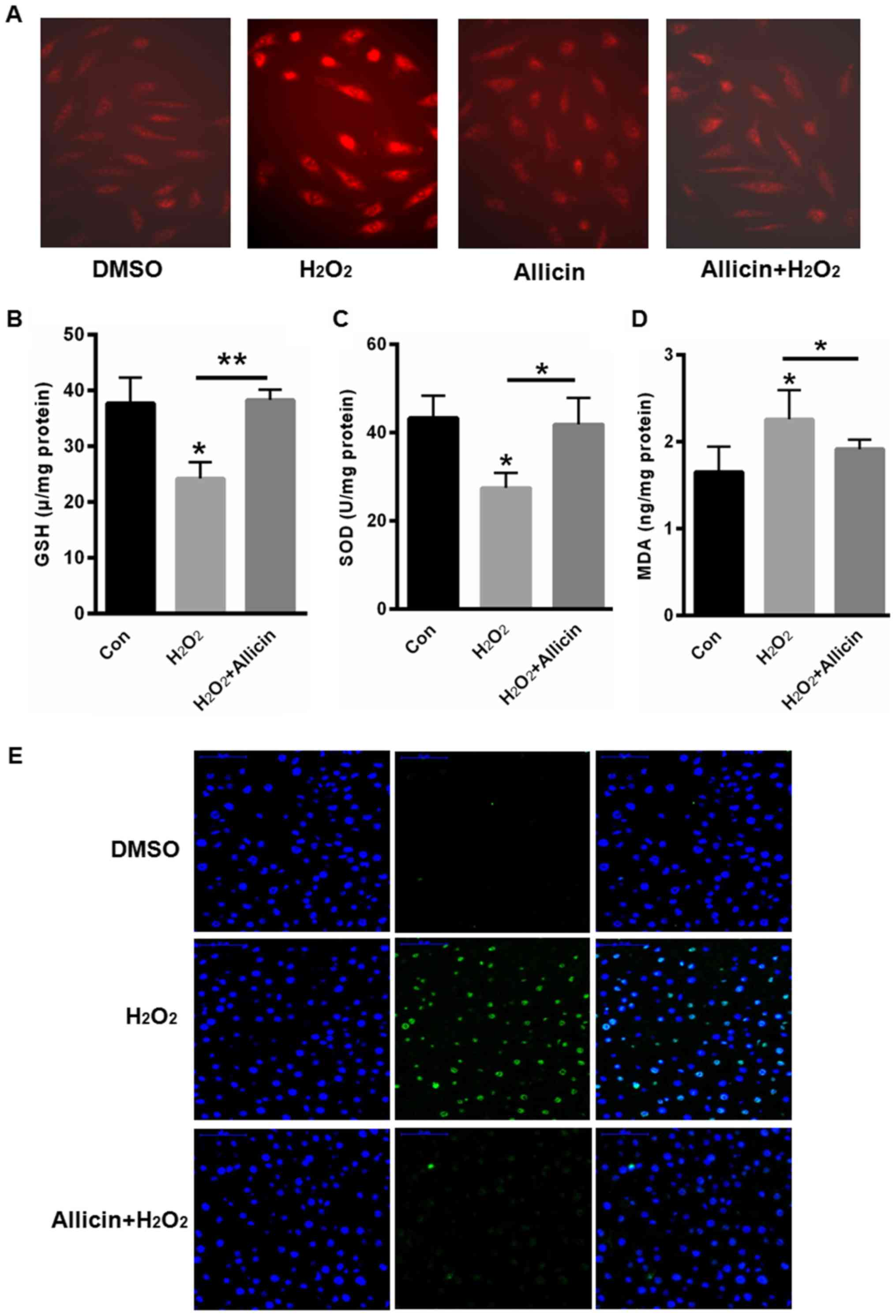 Allicin suppresses the migration and invasion in cervical cancer