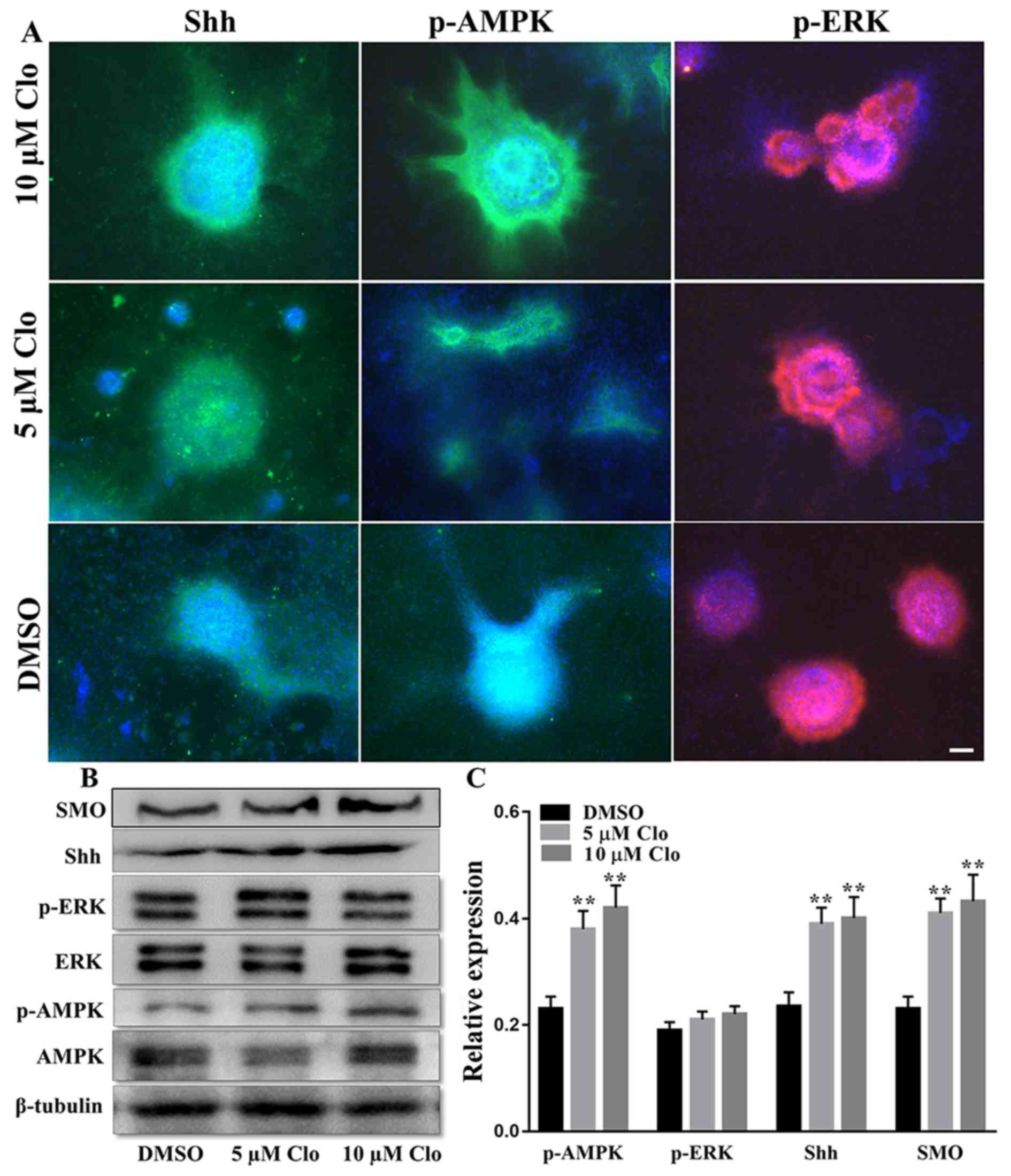 Clobetasol propionate enhances neural stem cell and oligodendrocyte