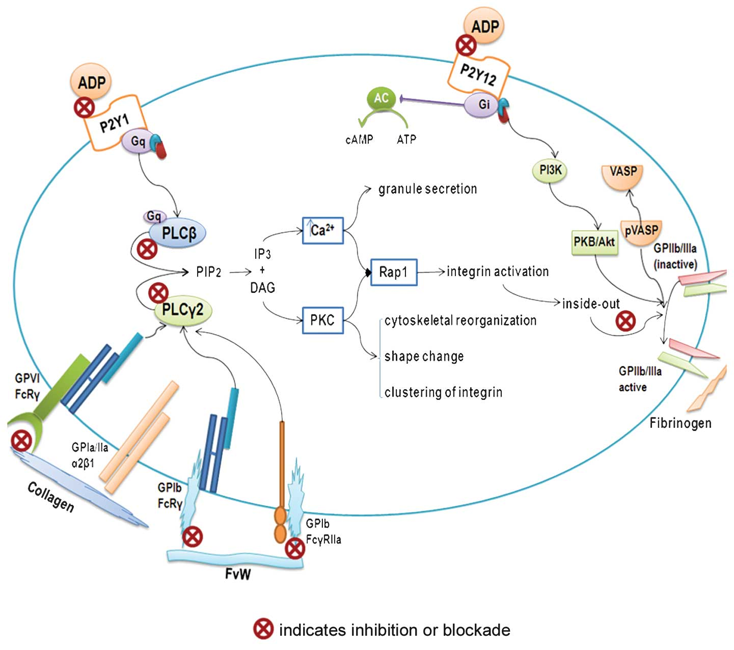 Platelets and a... G Protein Coupled Receptors Diagram