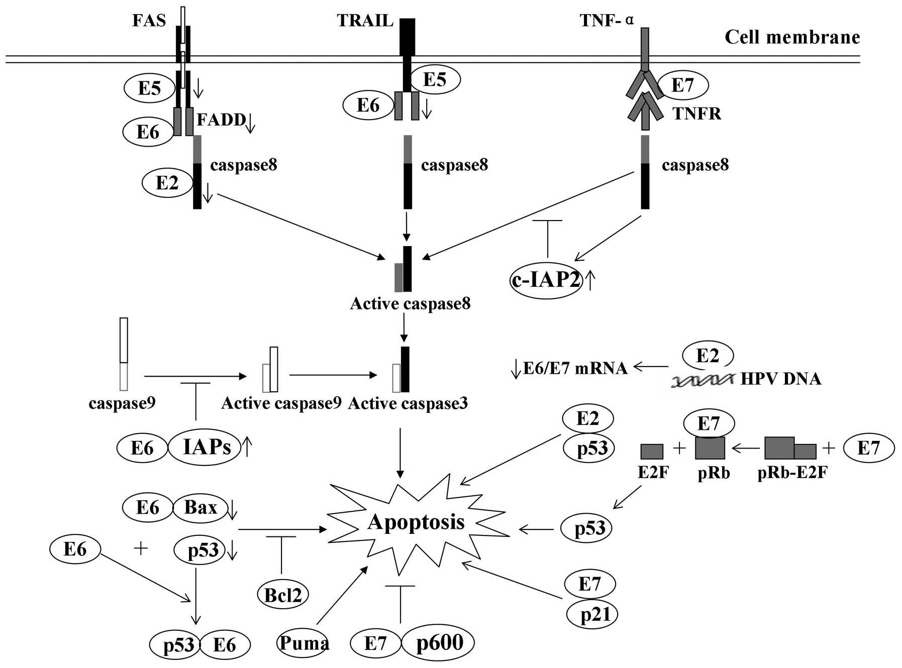 human papillomavirus oncoproteins)