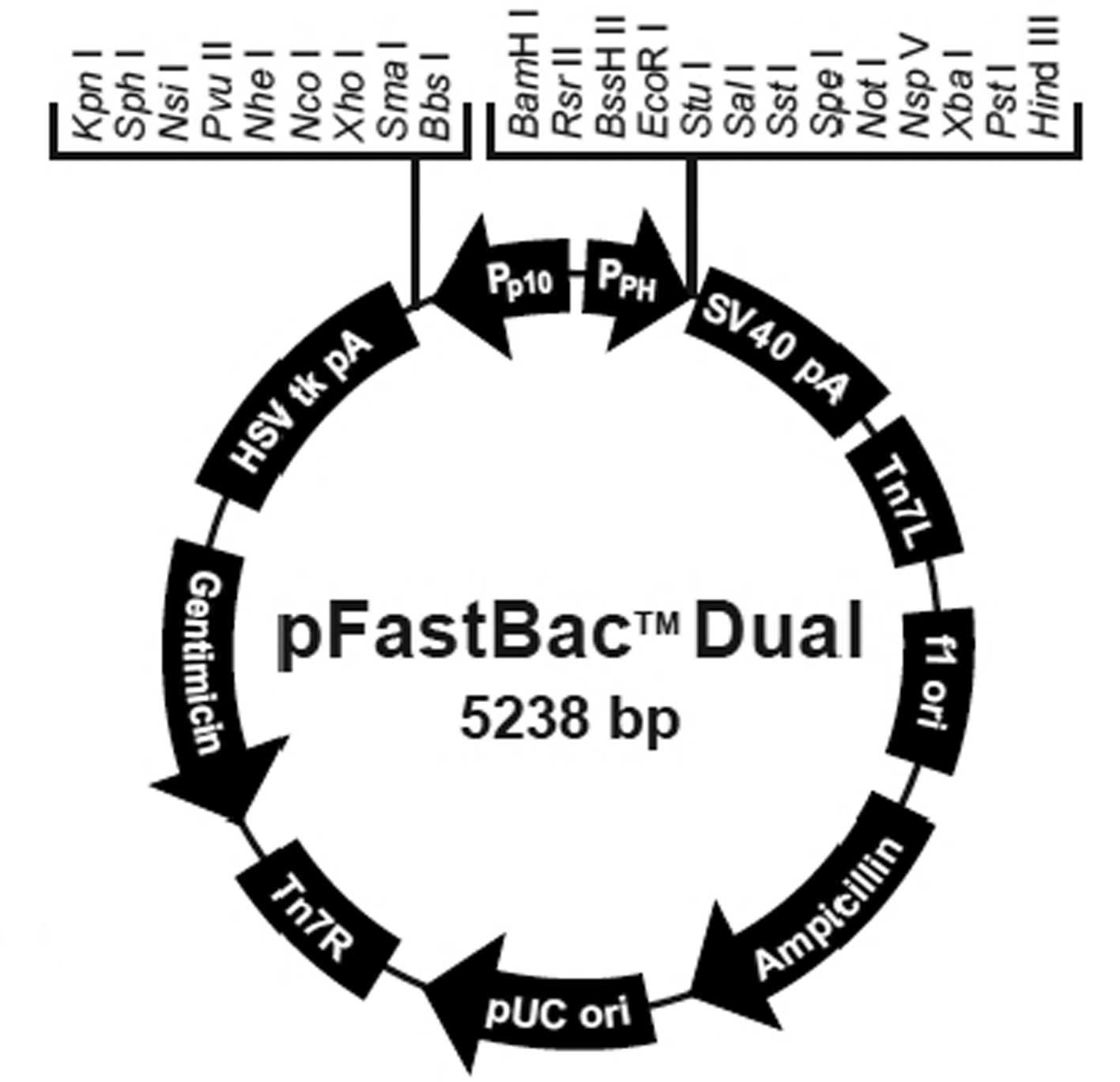 Feasibility of using a dual‑promoter recombinant baculovirus