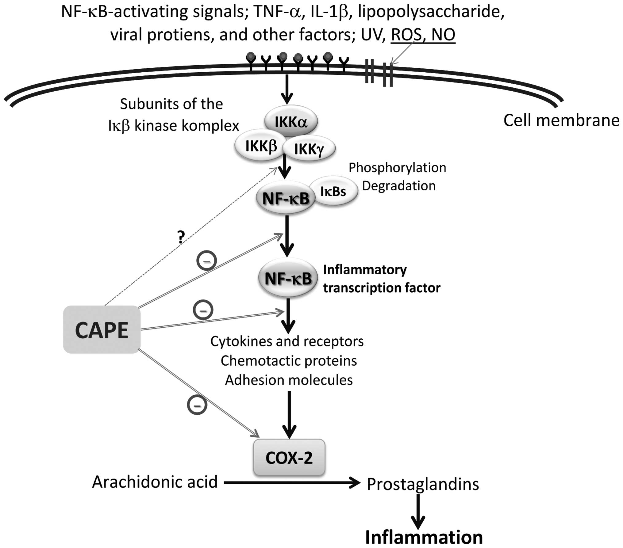 Schematic presentation of the anti-inflammatory effects of CAPE in the  inhibition of inflammation. COX-2, cyclooxygenase-2; IκB-α, κB inhibitor-α;  IKK, ...