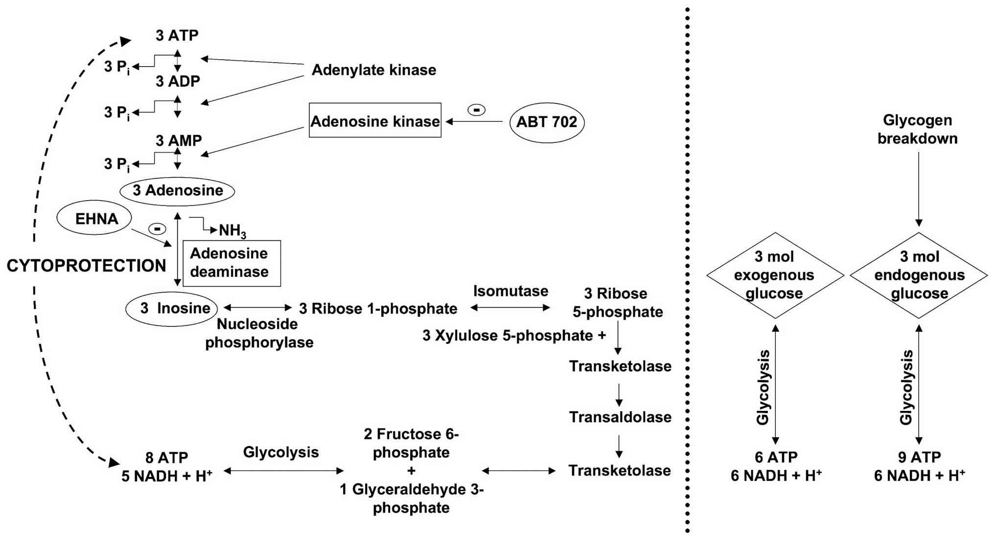 xylulose kinase - HD2031×1106
