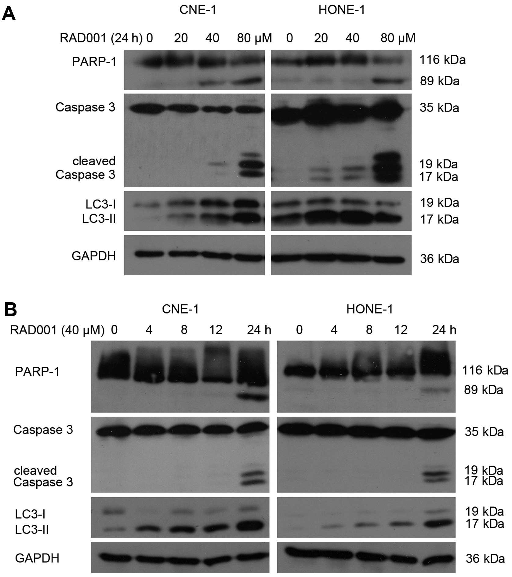 mTOR inhibitor RAD001 (everolimus) induces apoptotic, not ...