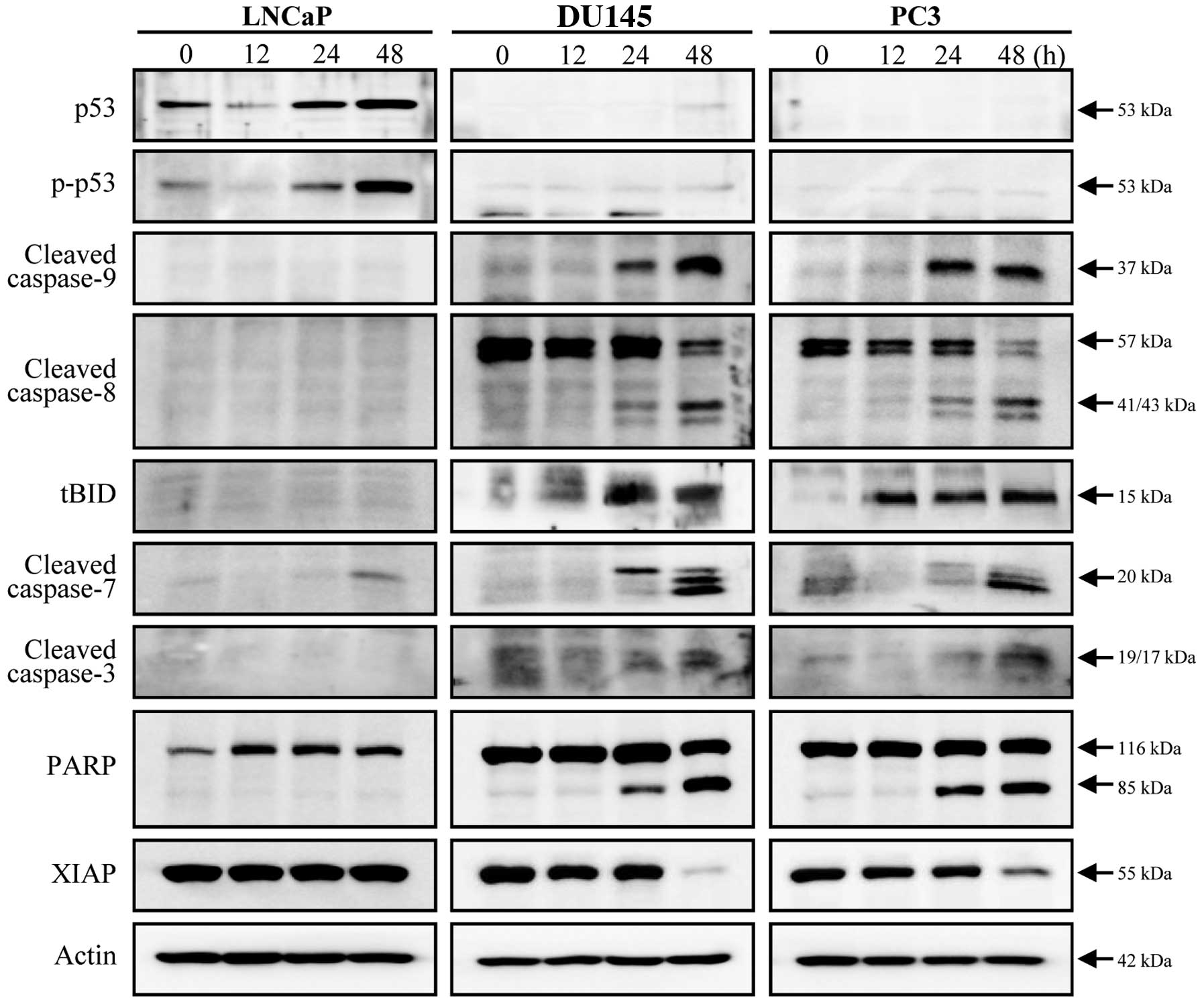 P53 Interferes With Microtubule Stabilizing Agent Induced