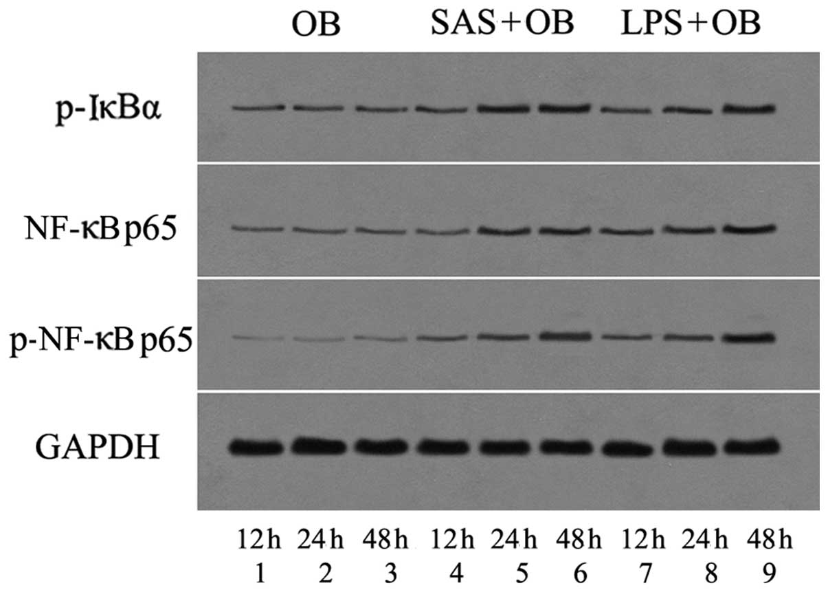 Staphylococcus aureus supernatant induces the release of mouse β