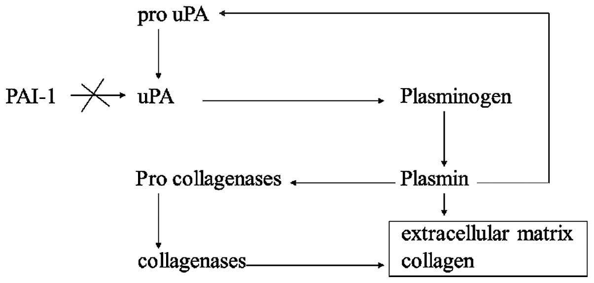 urokinase plasminogen activator system cancer