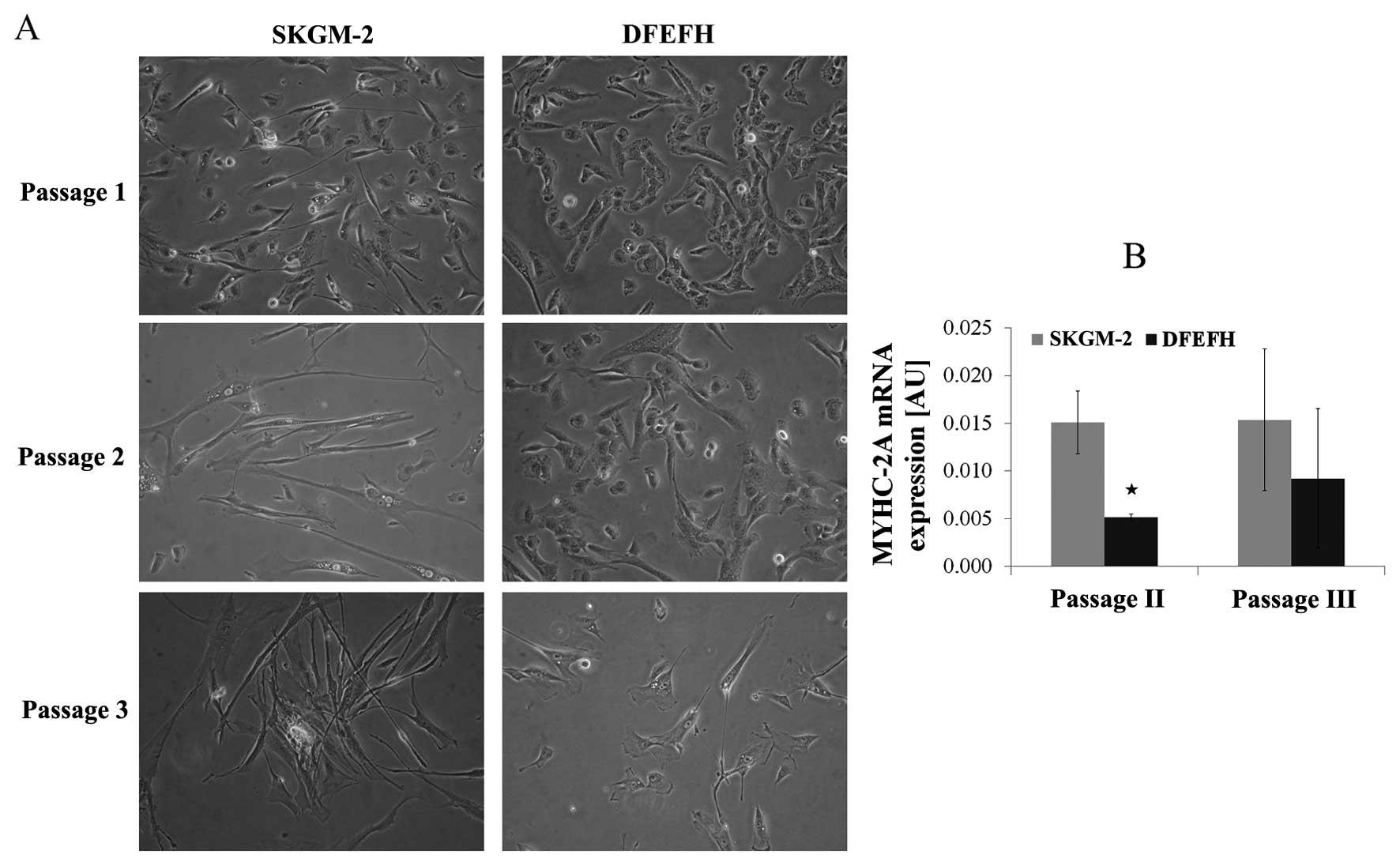 Efficient myoblast expansion for regenerative medicine use