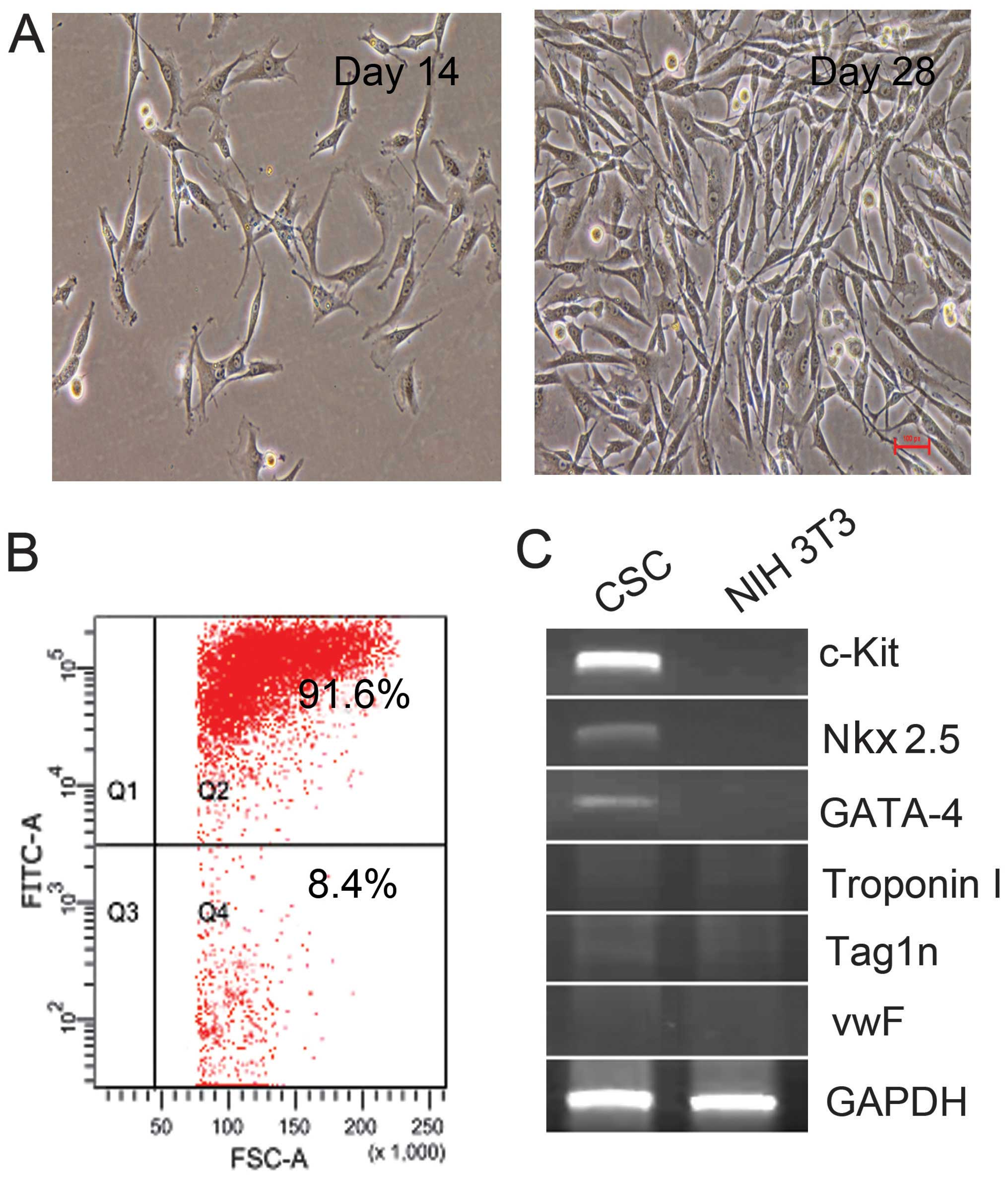 Scf Increases Cardiac Stem Cell Migration Through Pi3kakt And Mmp2
