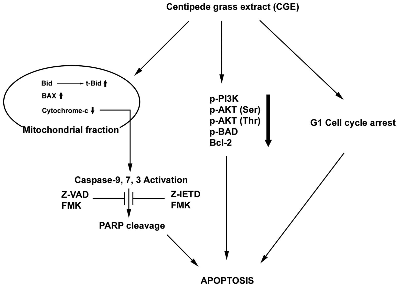Centipedegrass extract induces apoptosis through the activation of schematic diagram of the apoptotic pathway activated by centipe degrass extract cge in leukemia cells pooptronica