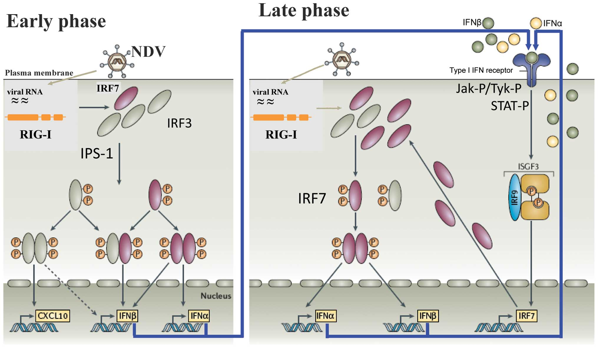 Signaling through RIG-I and type I interferon receptor