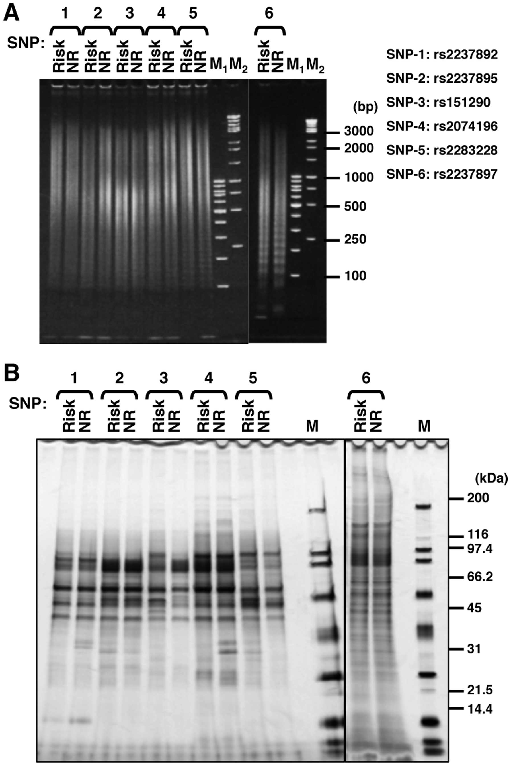 Figure 2 Purification Of Allelespecific Binding Proteins (a) Preparation  Of Immobilizing Dna Tandemly Ligated Dnas Were Separated Using Acrylamide  Gel