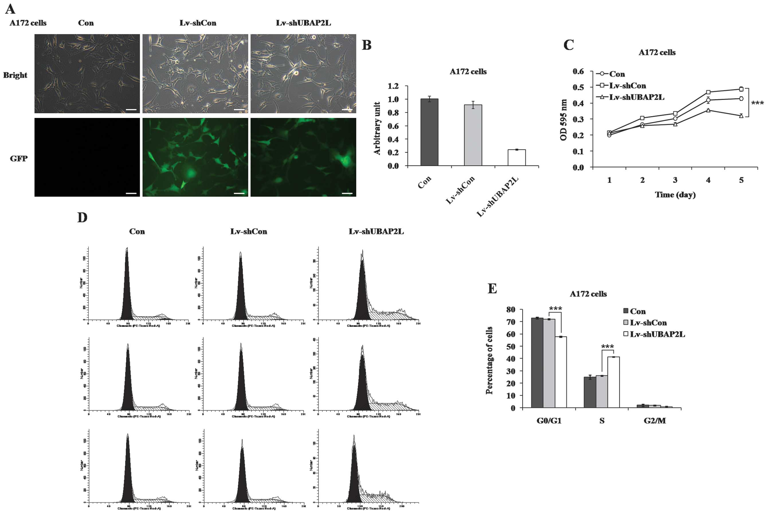downregulation of ubiquitin associated protein 2 like with a short RNA Structure Worksheet function analysis of ubiquitin associated protein 2 like ubap2l by short hairpin rna shrna in a172 cells a representative images of a172 cells after