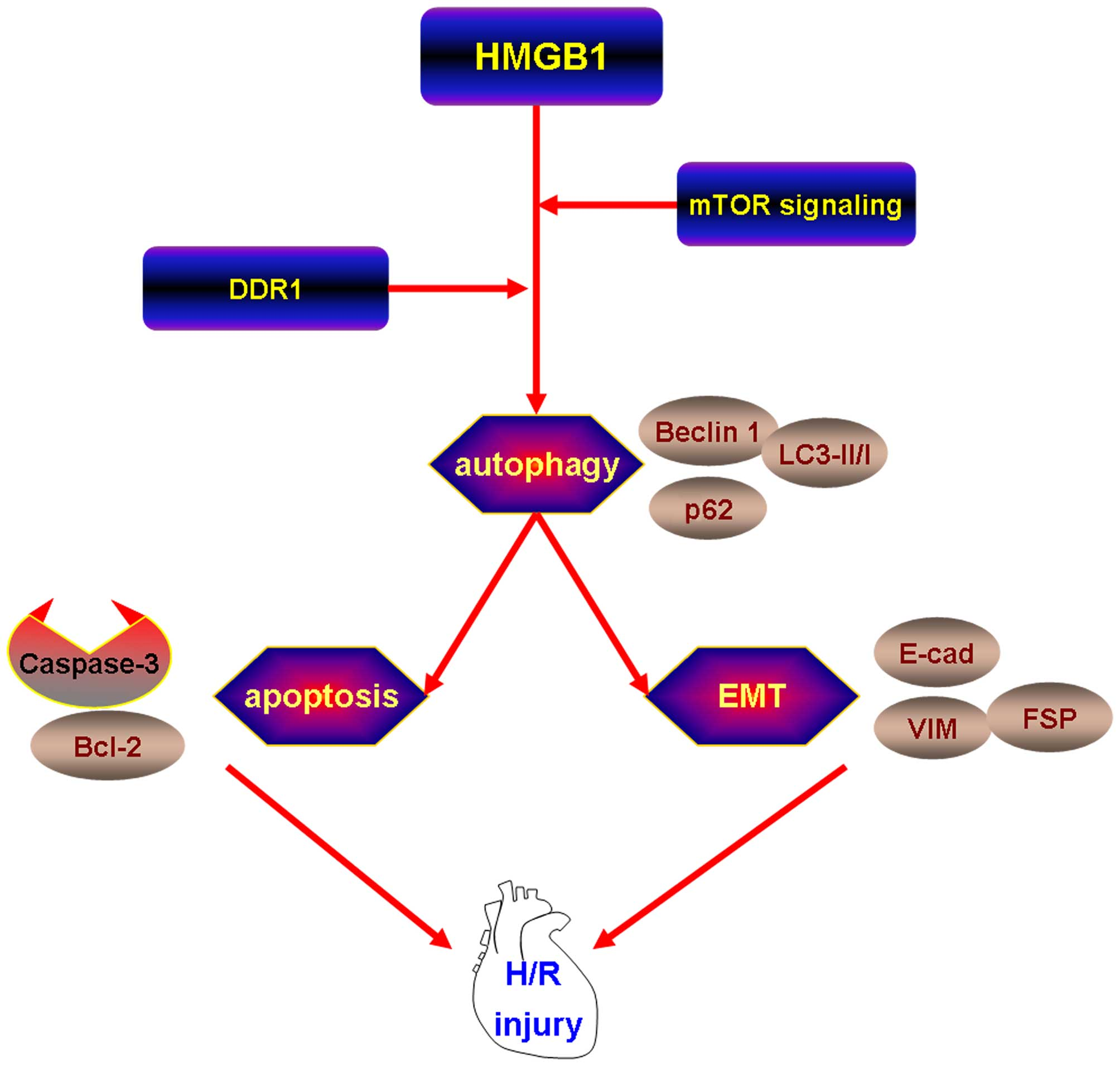 HMGB1 induces apoptosis and EMT in association with increased ...