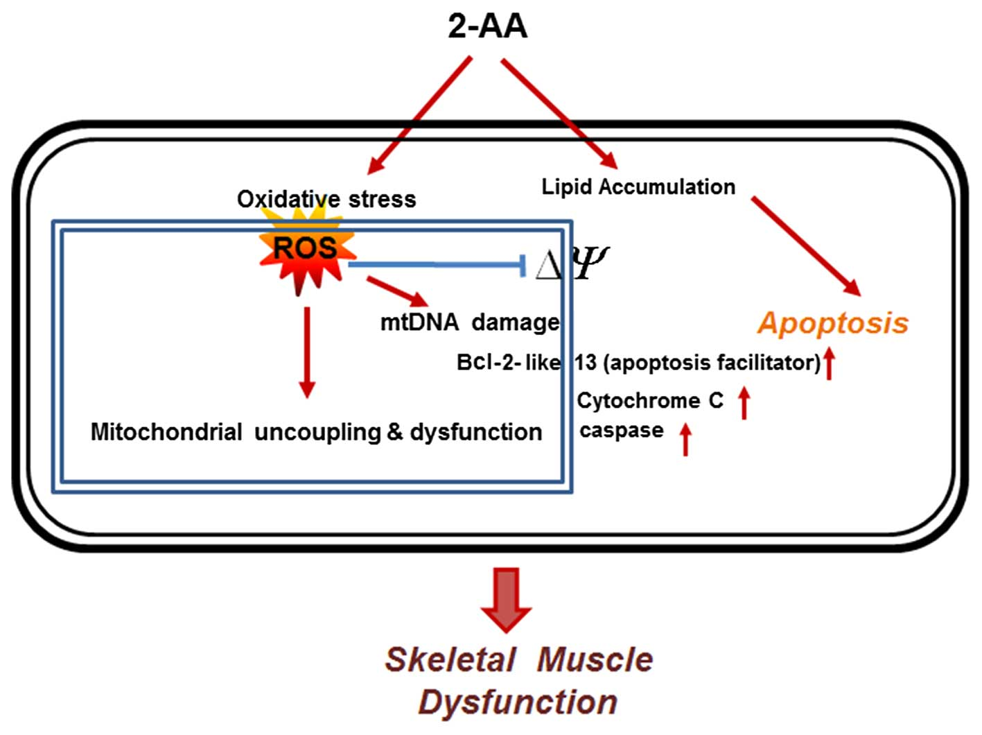 representative schematic diagram showing that 2-aminoacetophenone (2-aa)  induces oxidative stress and apoptosis in skeletal muscle