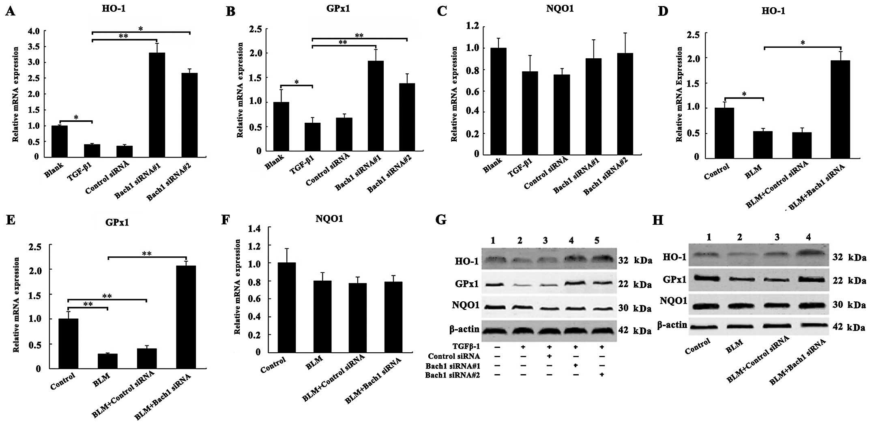 Bach1 siRNA attenuates bleomycin-induced pulmonary fibrosis by