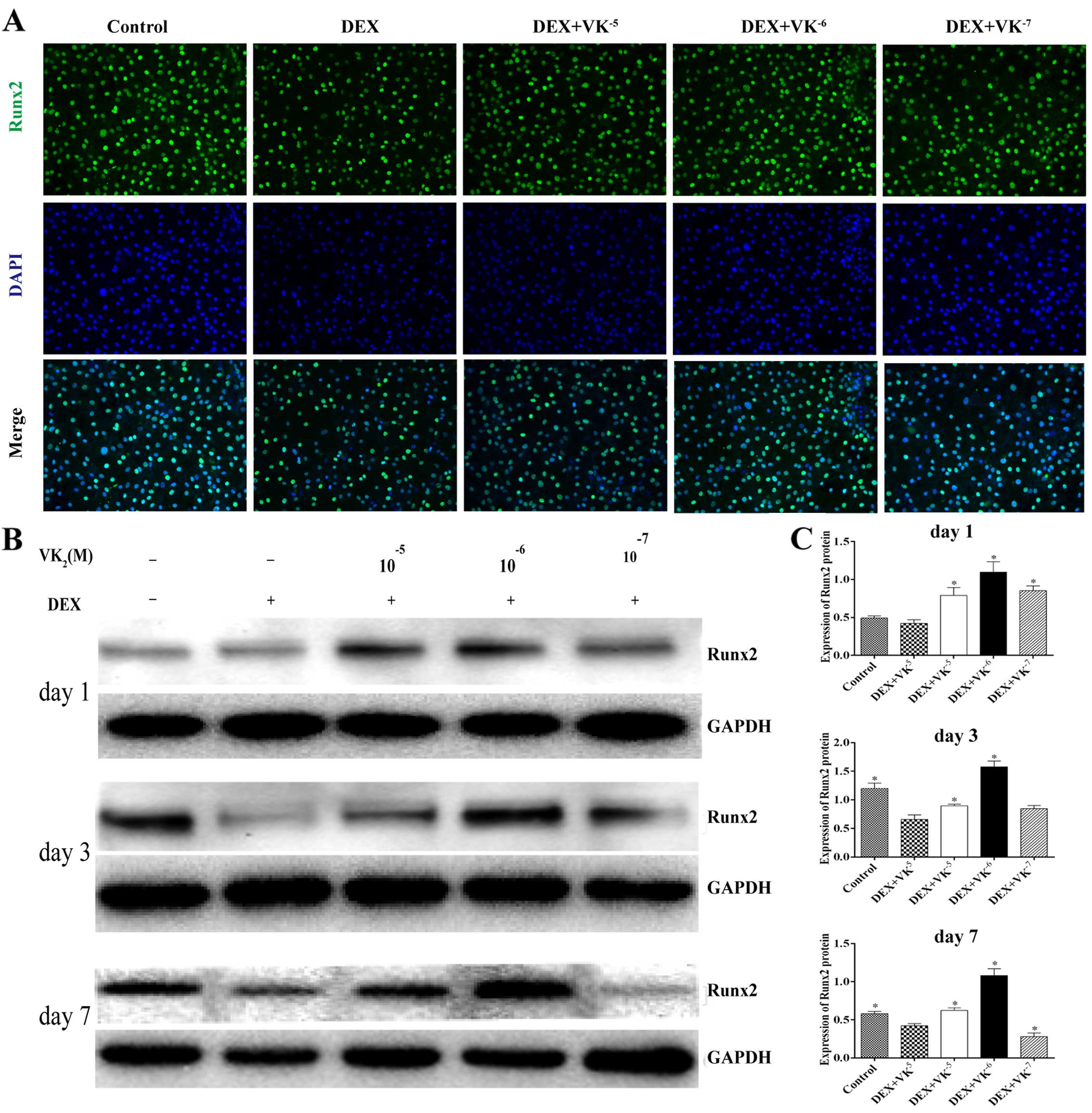 Protective effect of VK2 on glucocorticoid-treated MC3T3-E1