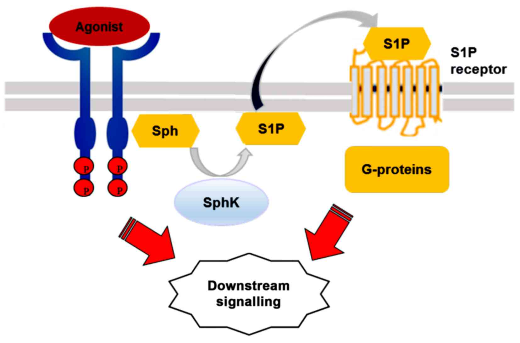 magasin d'usine 54c70 f078d The role of sphingolipid signalling in diabetes‑associated ...