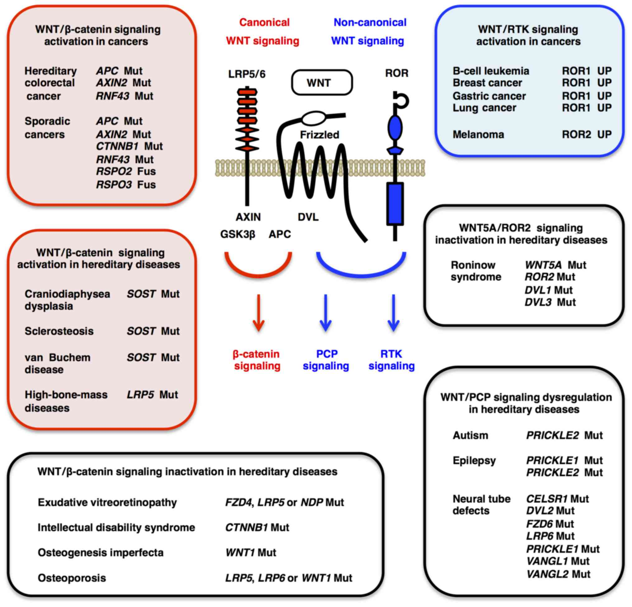 Molecular genetics and tar ed therapy of WNT human