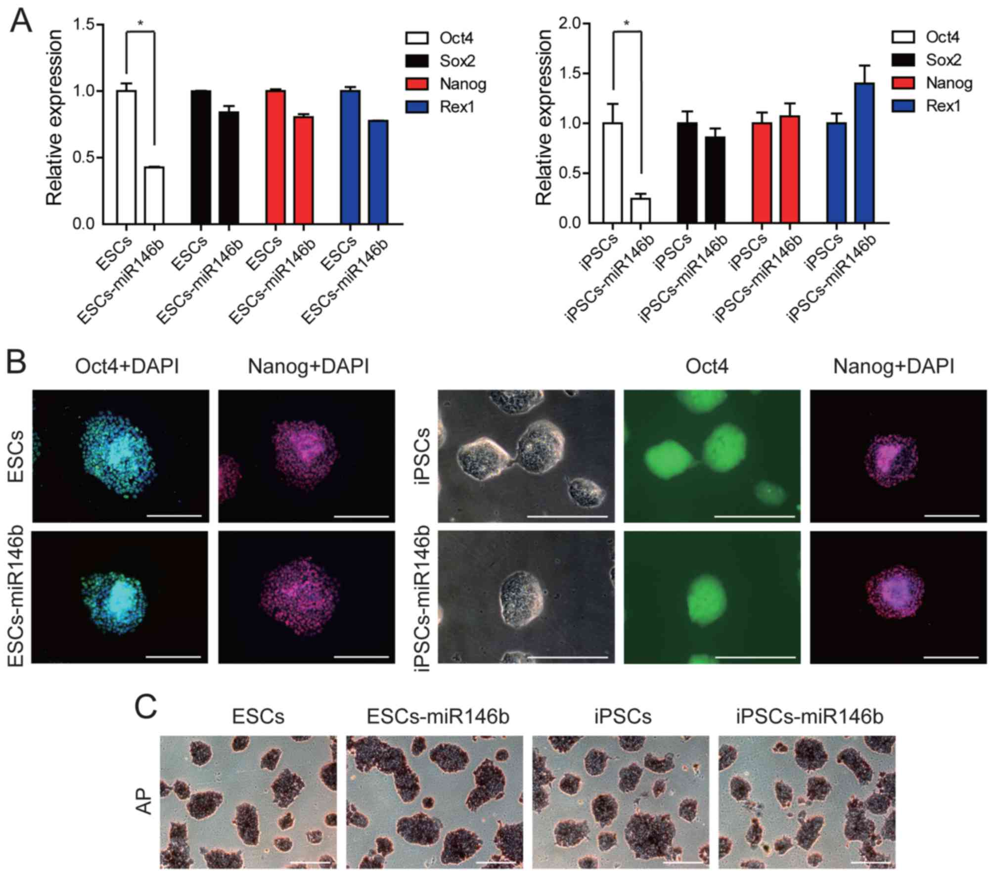miR‑146b‑5p promotes the neural conversion of pluripotent stem cells ...