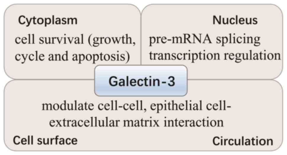 Galectin-3 as a novel biomarker for disease diagnosis and a