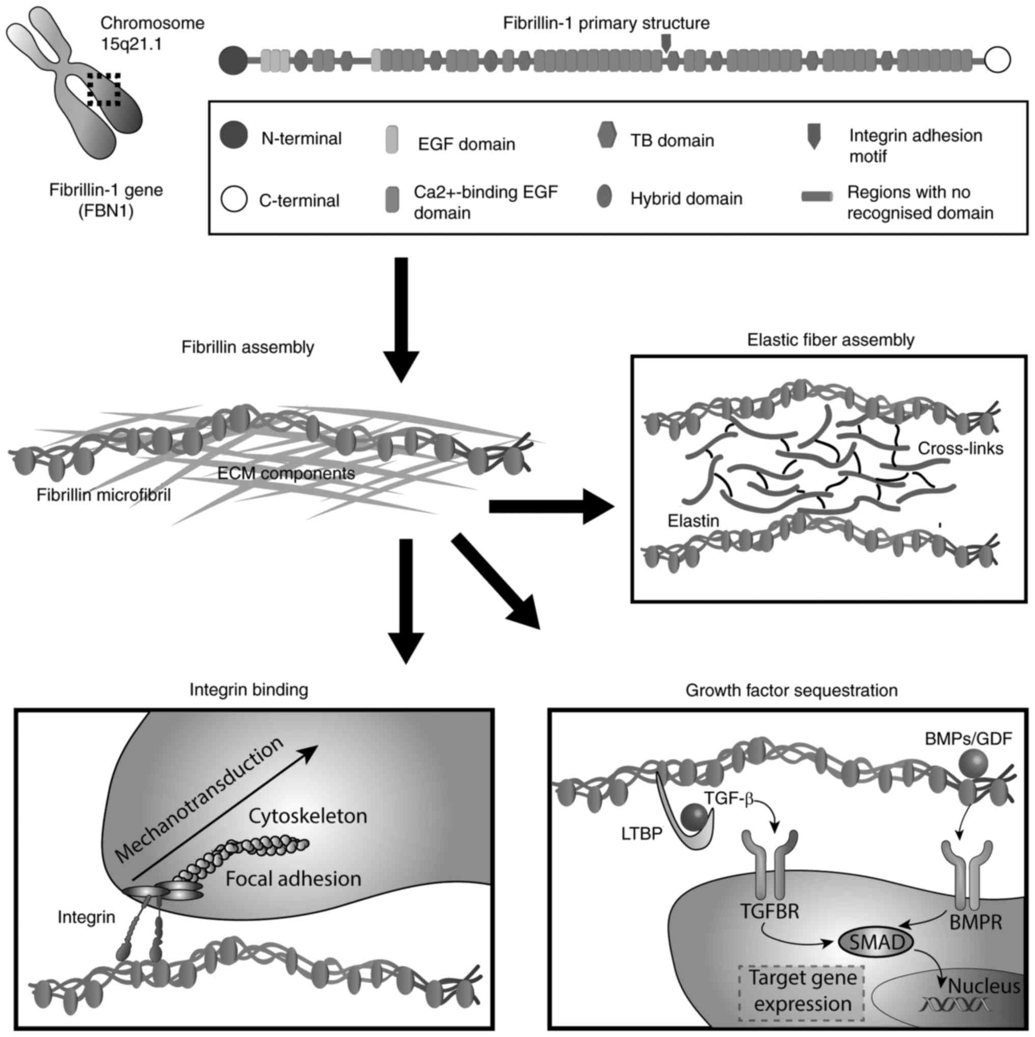 Structural and functional failure of fibrillin‑1 in human diseases ...