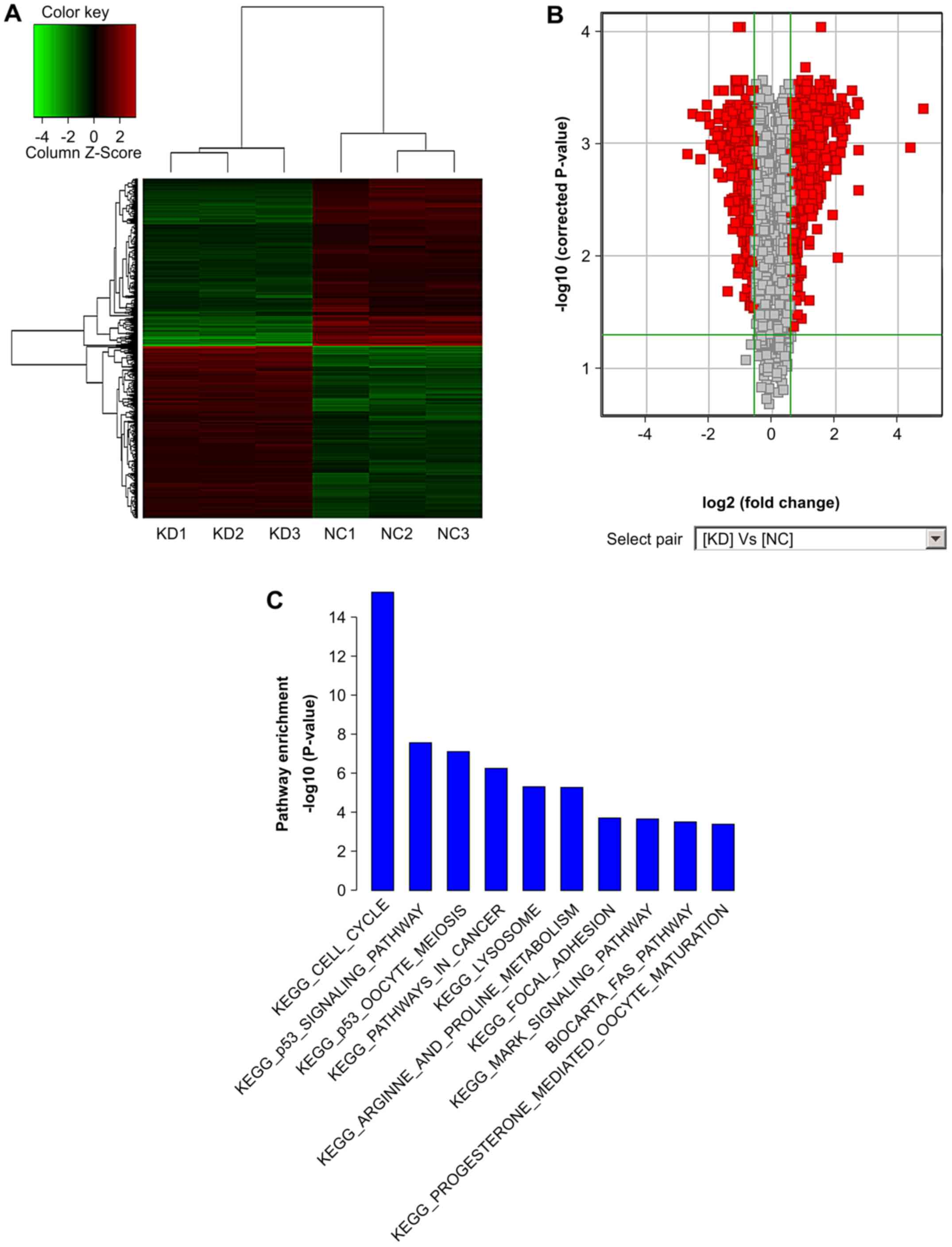 shrna induced silencing of ras related c3 botulinum toxin substrate RNA Evolution gene microarray expression profiles from three sets of matched sw620 cells transfected with lv short hairpin rna ras related c3 botulinum toxin substrate 1