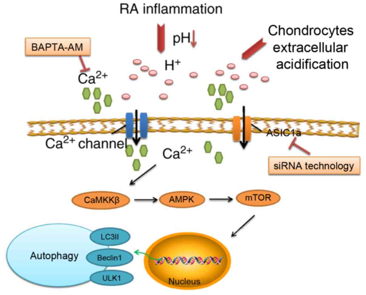 Inhibition of acid‑sensing ion channel 1a attenuates acid ...