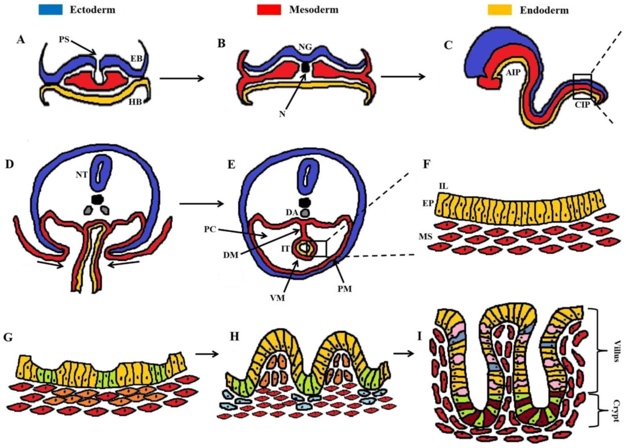Large Intestine Embryogenesis Molecular Pathways And Related Disorders Review