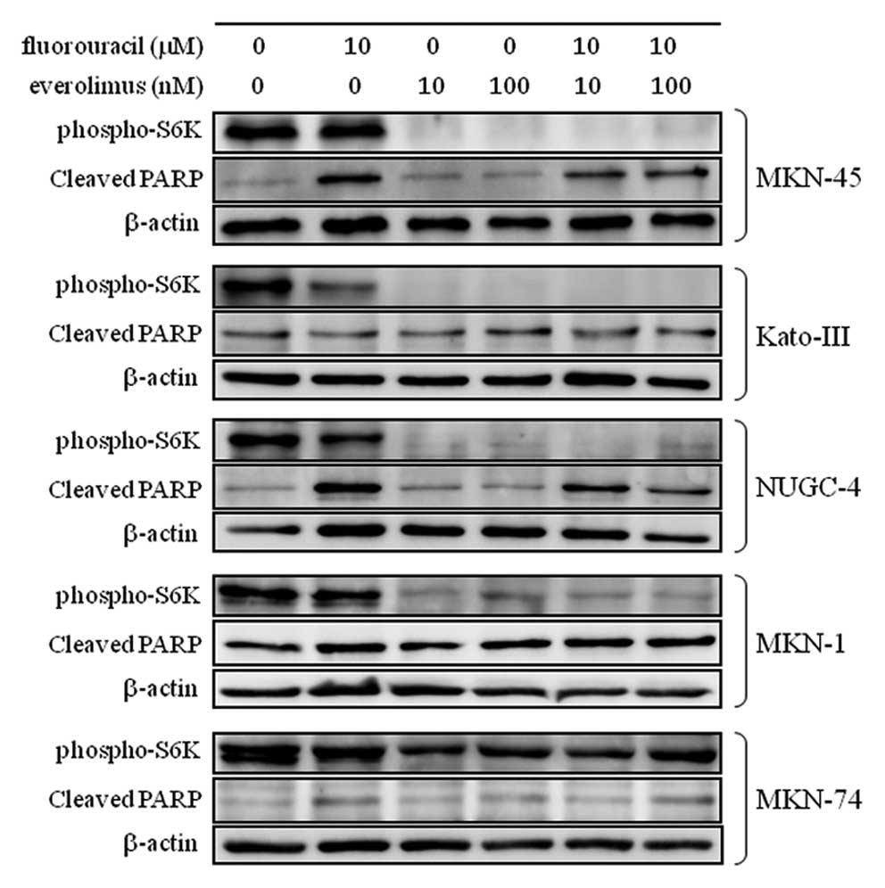 InternationalJournal ofOncologyInhibition of the mTOR/S6K signal is necessary to enhance fluorouracil-induced apoptosis in gastric cancer cells with HER2 amplification