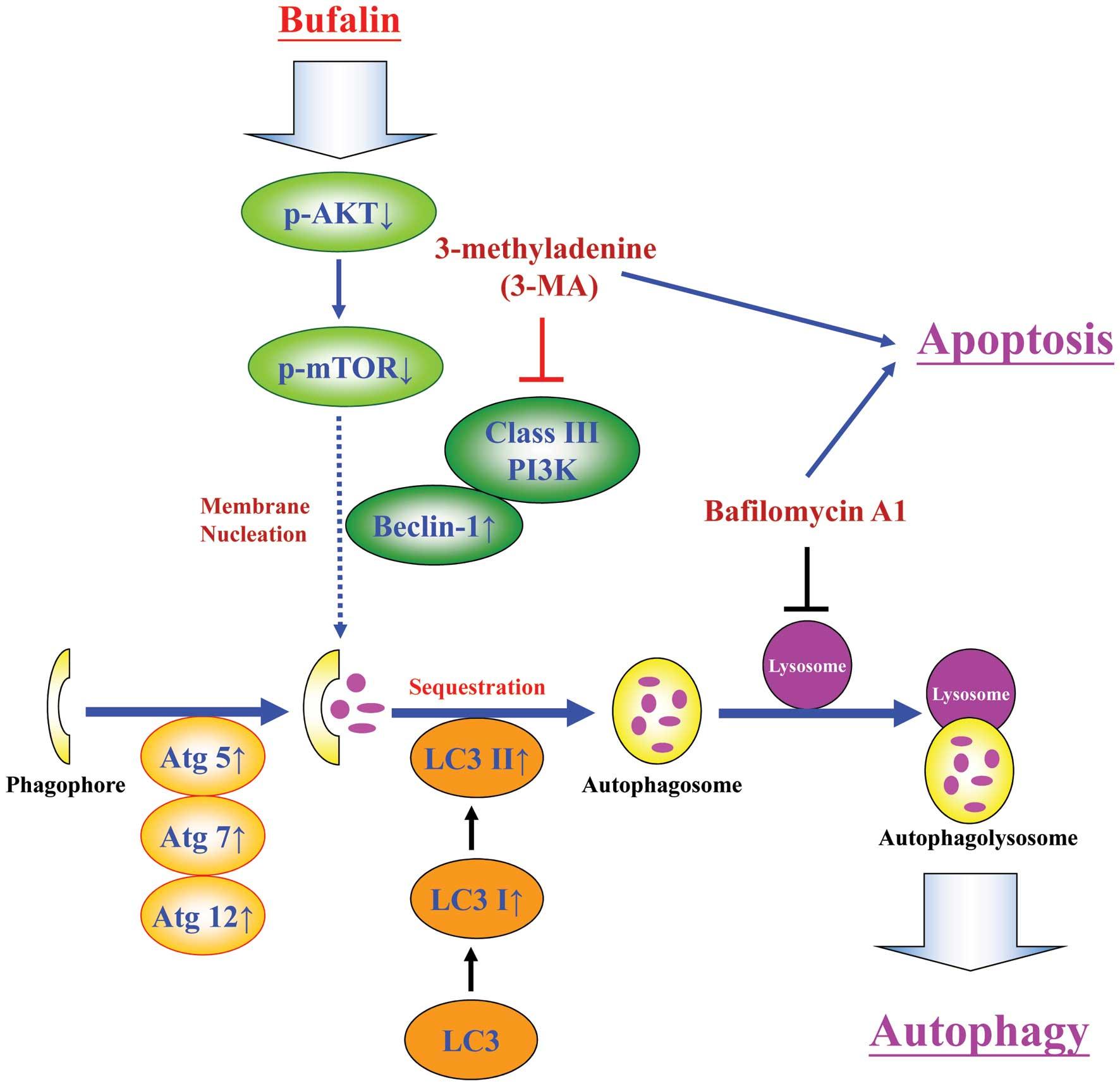 P38 and JNK MAPK pathways control the balance of apoptosis ...