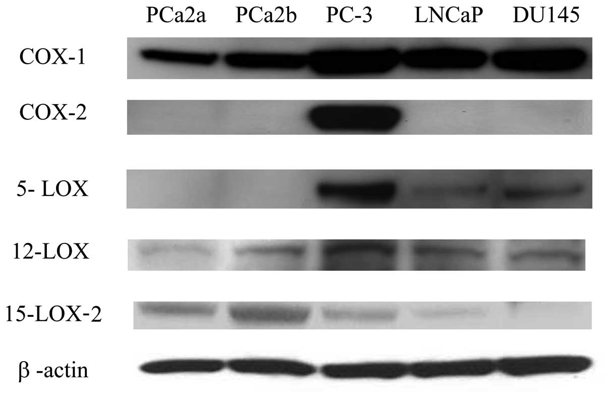 Protein expression of the eicosanoid enzymes in prostate cancer cells.  Cells that reached approximately 80% confluency were collected and lysed in  the lysis ...