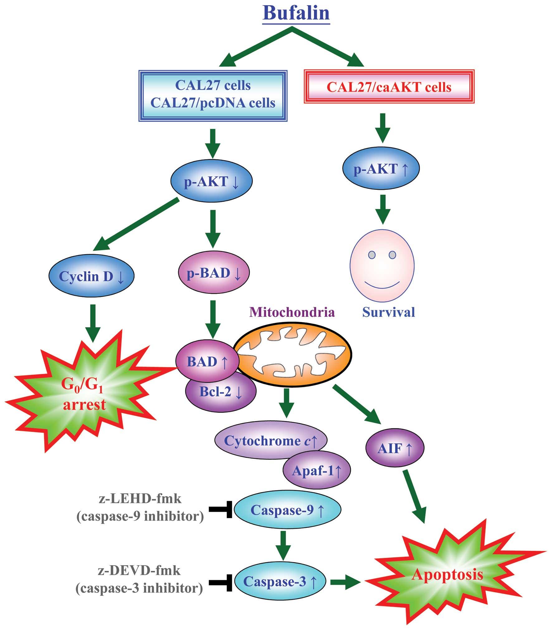Akt Serine Threonine Protein Kinase Modulates Bufalin
