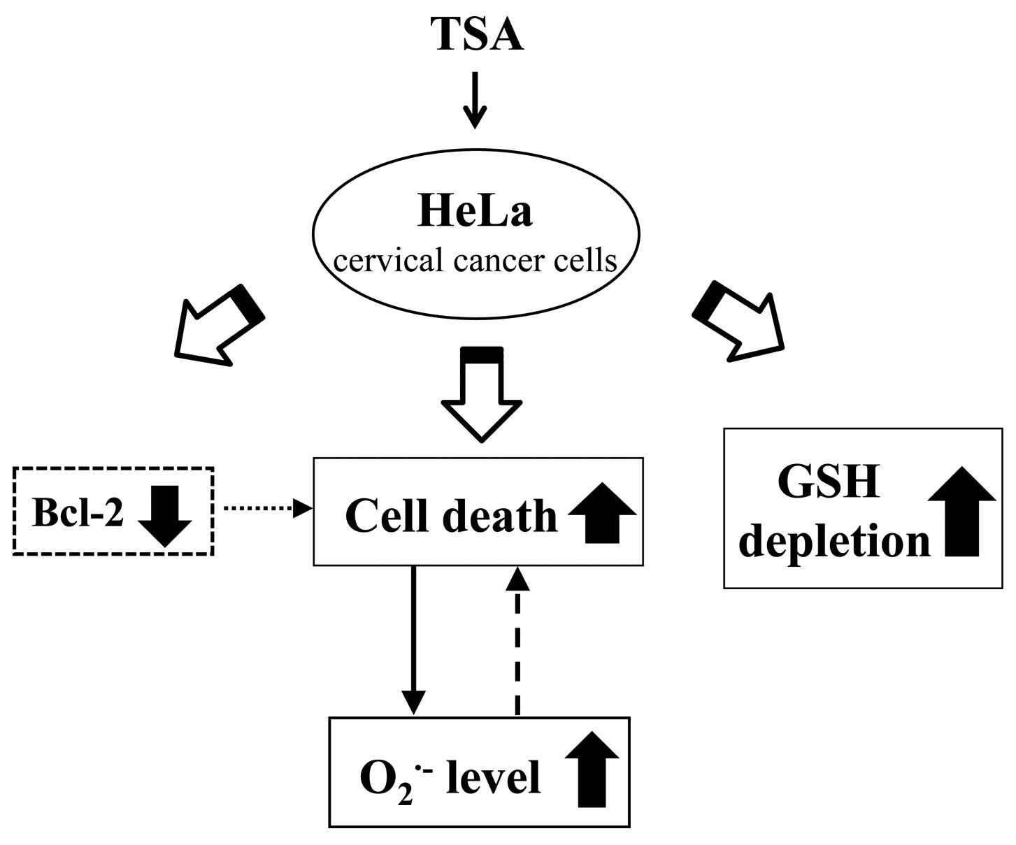 trichostatin a induces apoptotic cell death of hela cells