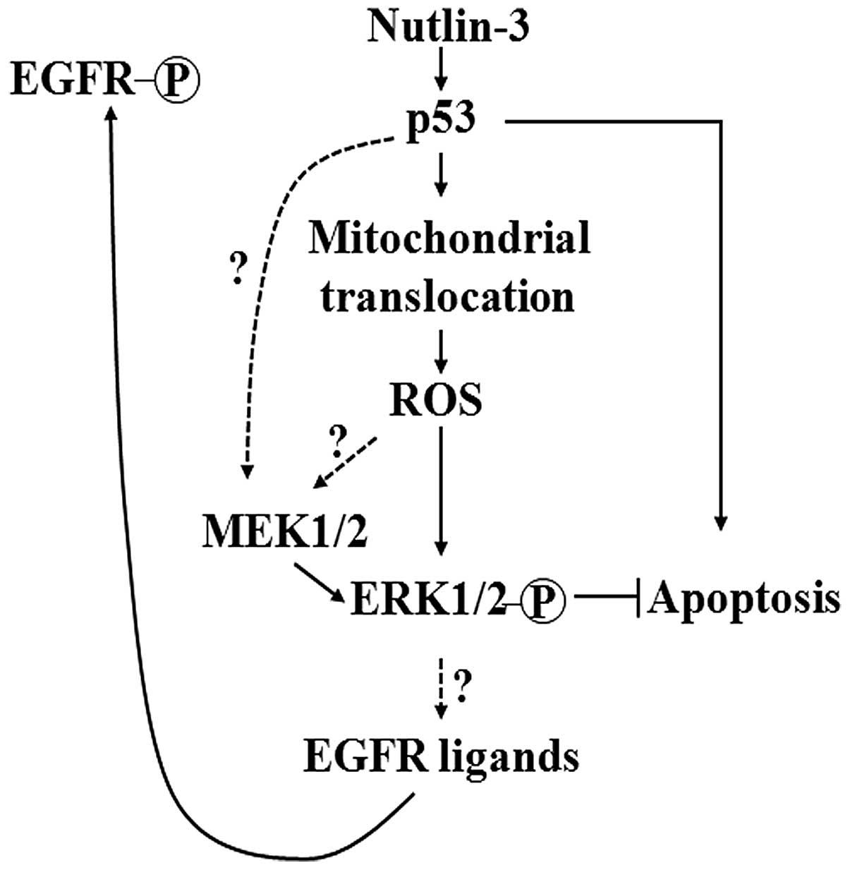 erk1  2 activation mediated by the nutlin u20113 u2011induced