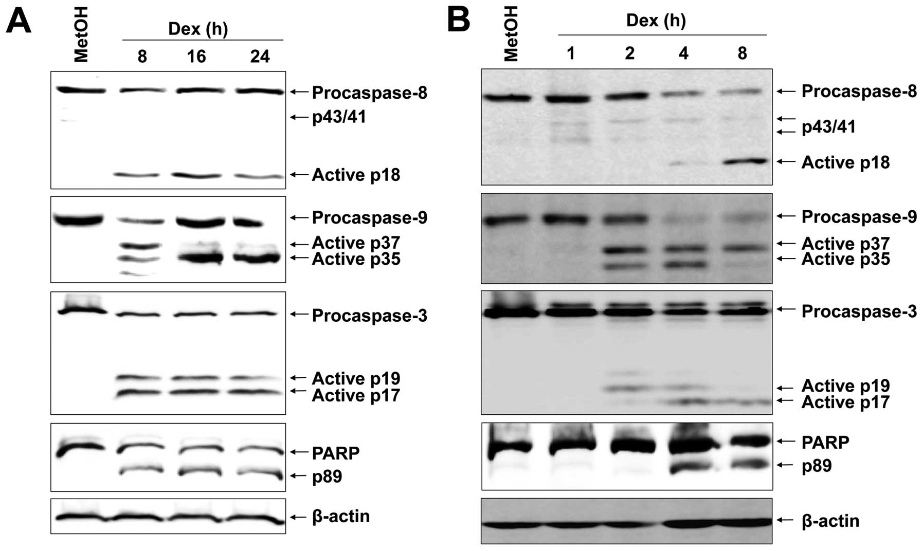 Ros And Erk1 2 Mediated Caspase 9 Activation Increases