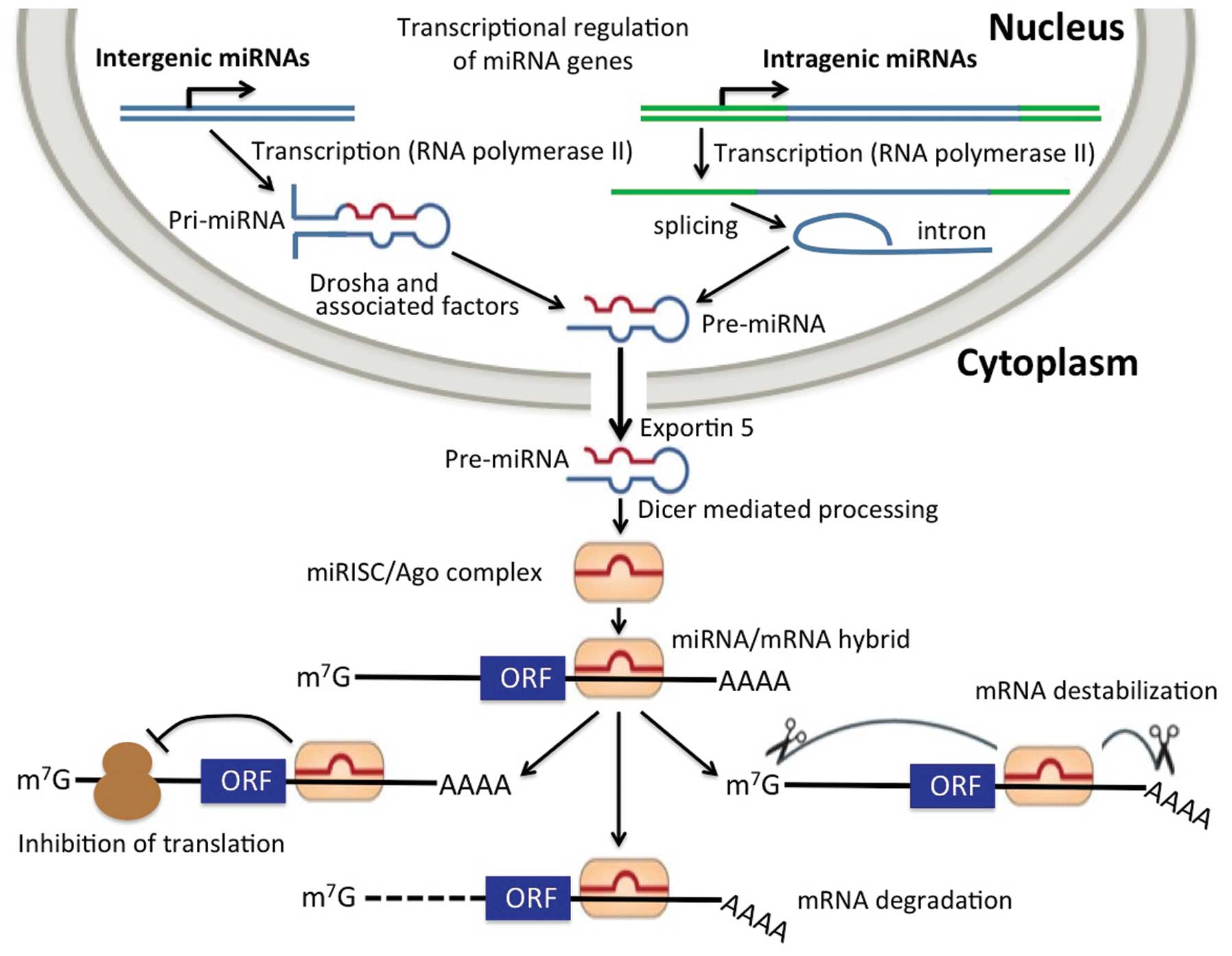 From Microrna Functions To Therapeutics Novel Targets And Pna L Block Diagram Figure 1 Biogenesis Of Micrornas