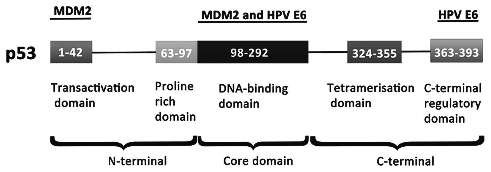 The Regions Of Possible Interaction Between P53 And MDM2 Or HPV E6 Are Suggested Adopted Modified According To Bernard Et Al 110