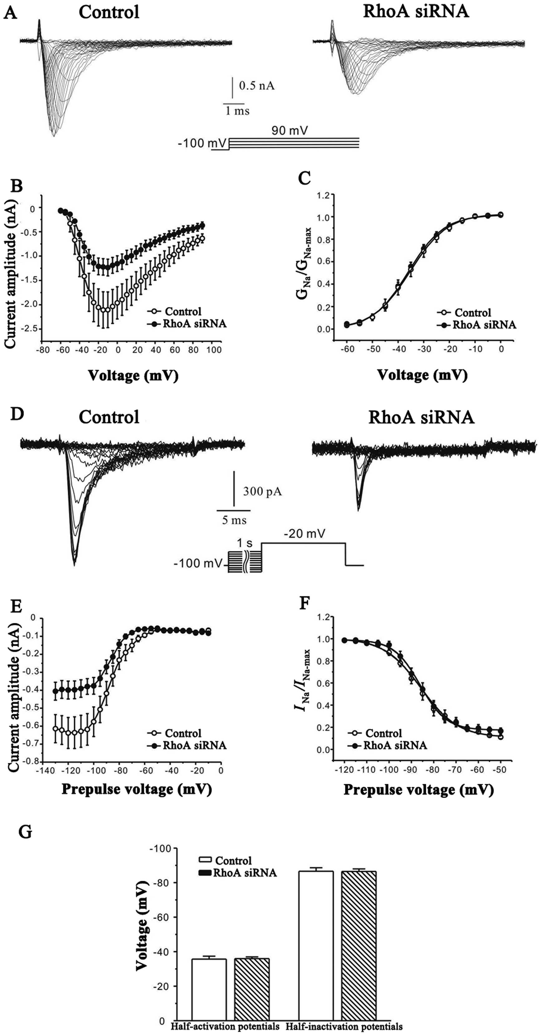 the small gtpase rhoa regulates the expression and
