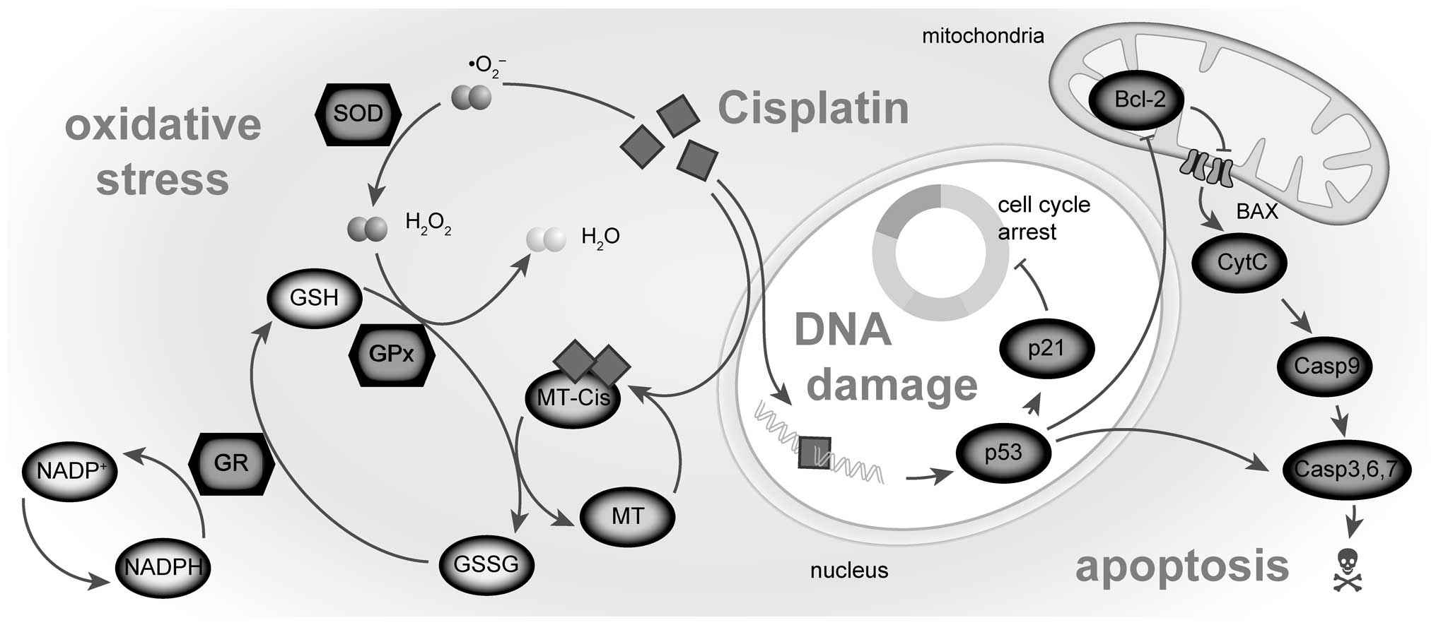 Apoptosis: Events, Mechanism and Importance | Cell Cycle
