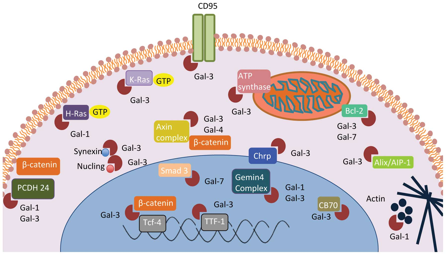Intracellular Galectins In Cancer Cells Potential New