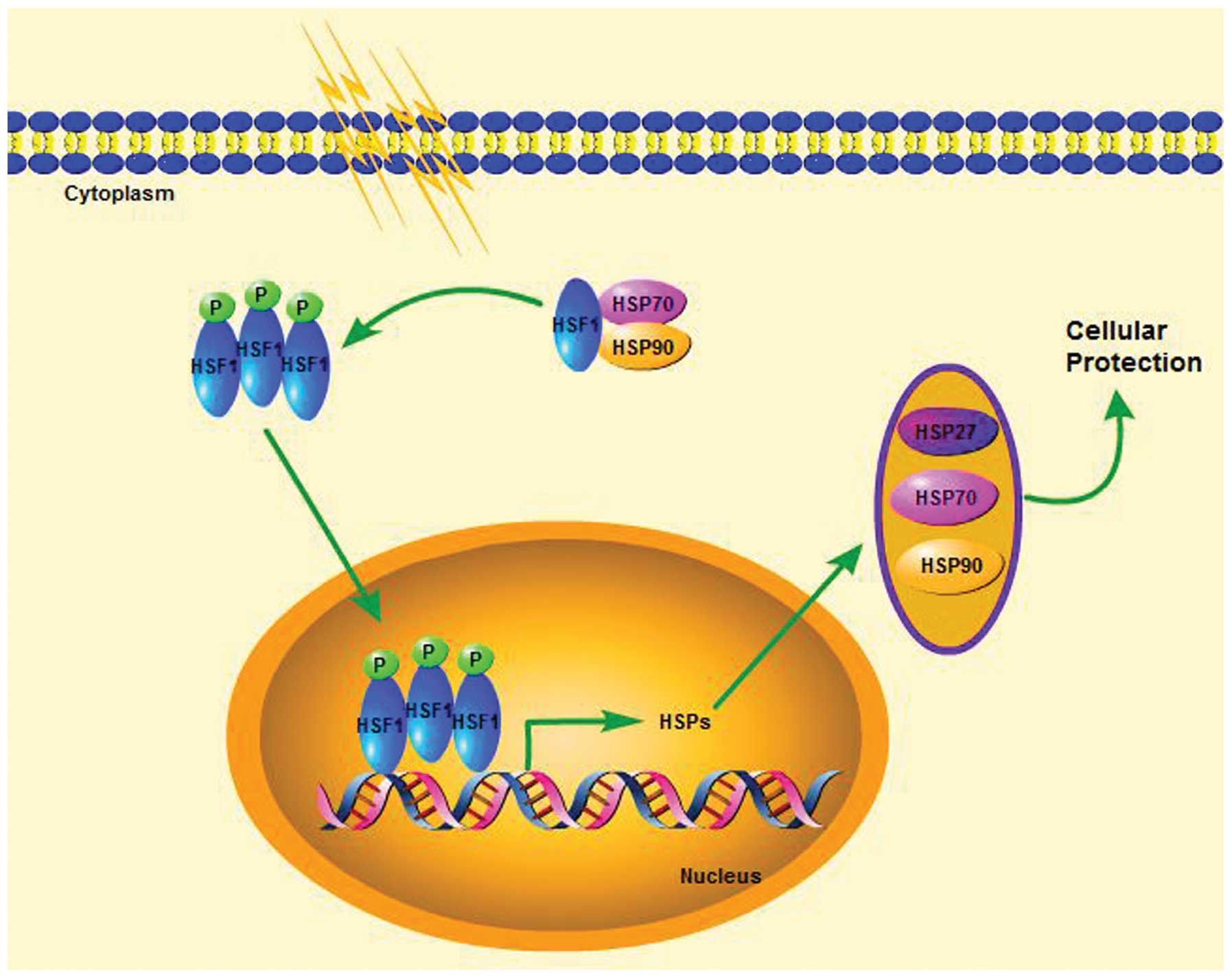 Hsp27 70 And 90 Anti Apoptotic Proteins In Clinical