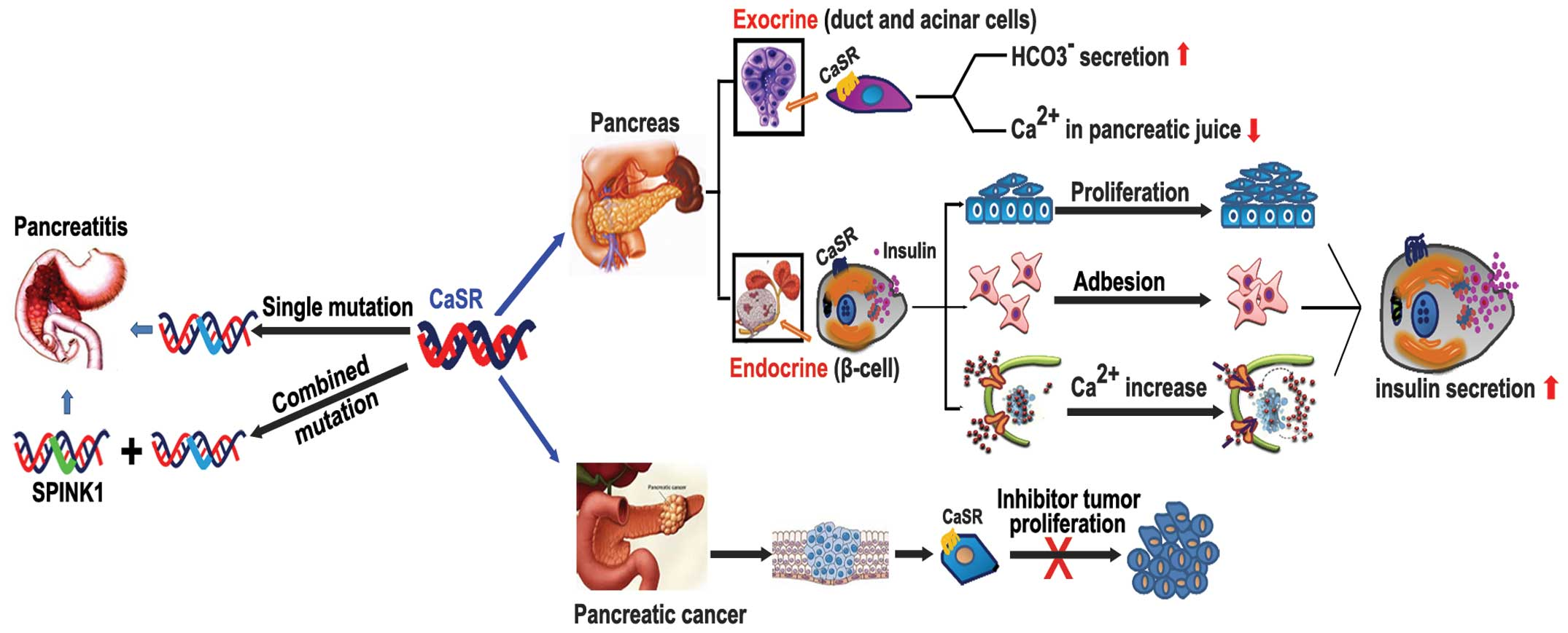 Roles Of The Calcium Sensing Receptor In Digestive Physiology And
