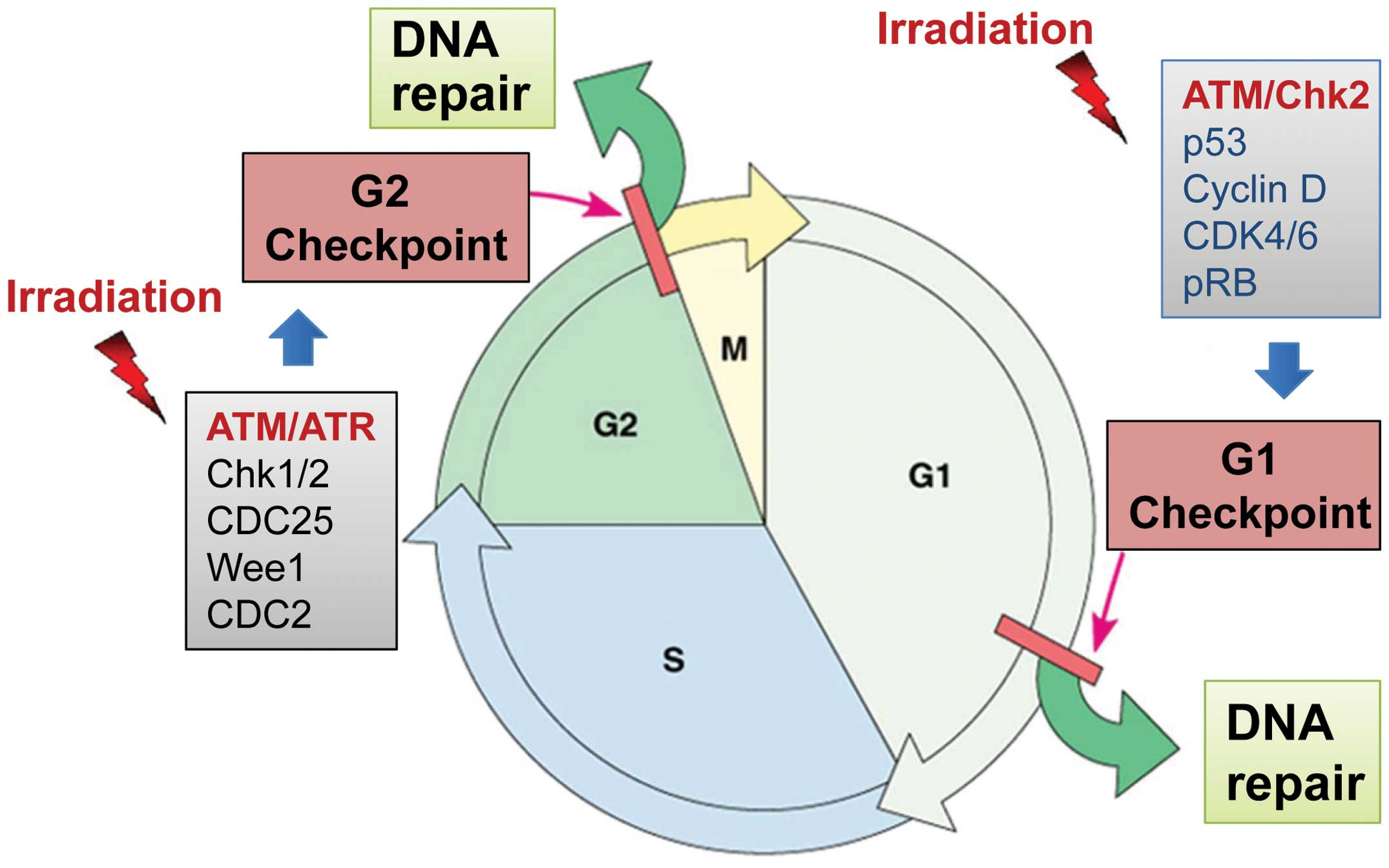 Cell cycle (eukaryotic), genetic regulation of