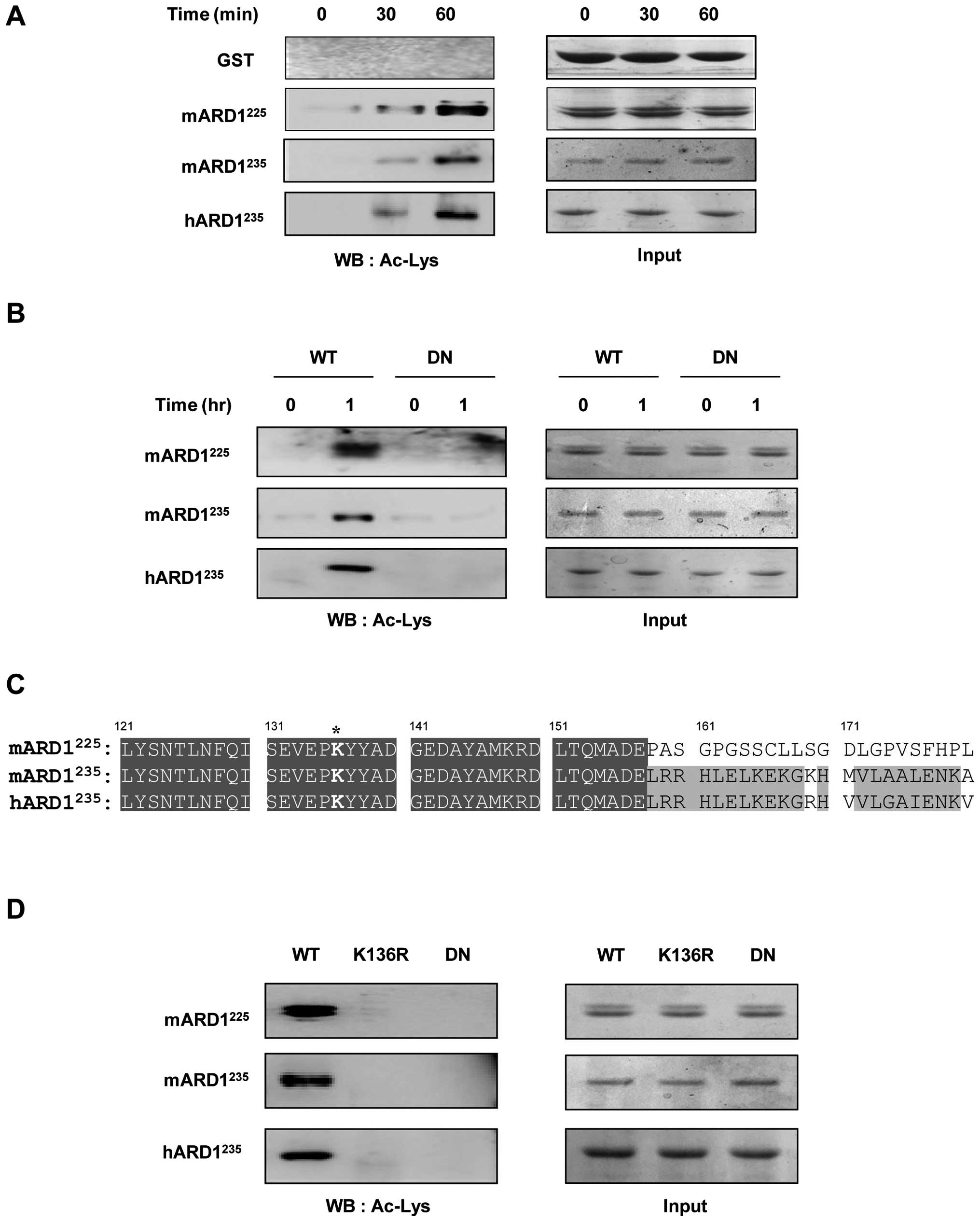 Autoacetylation Regulates Differentially The Roles Of ARD1