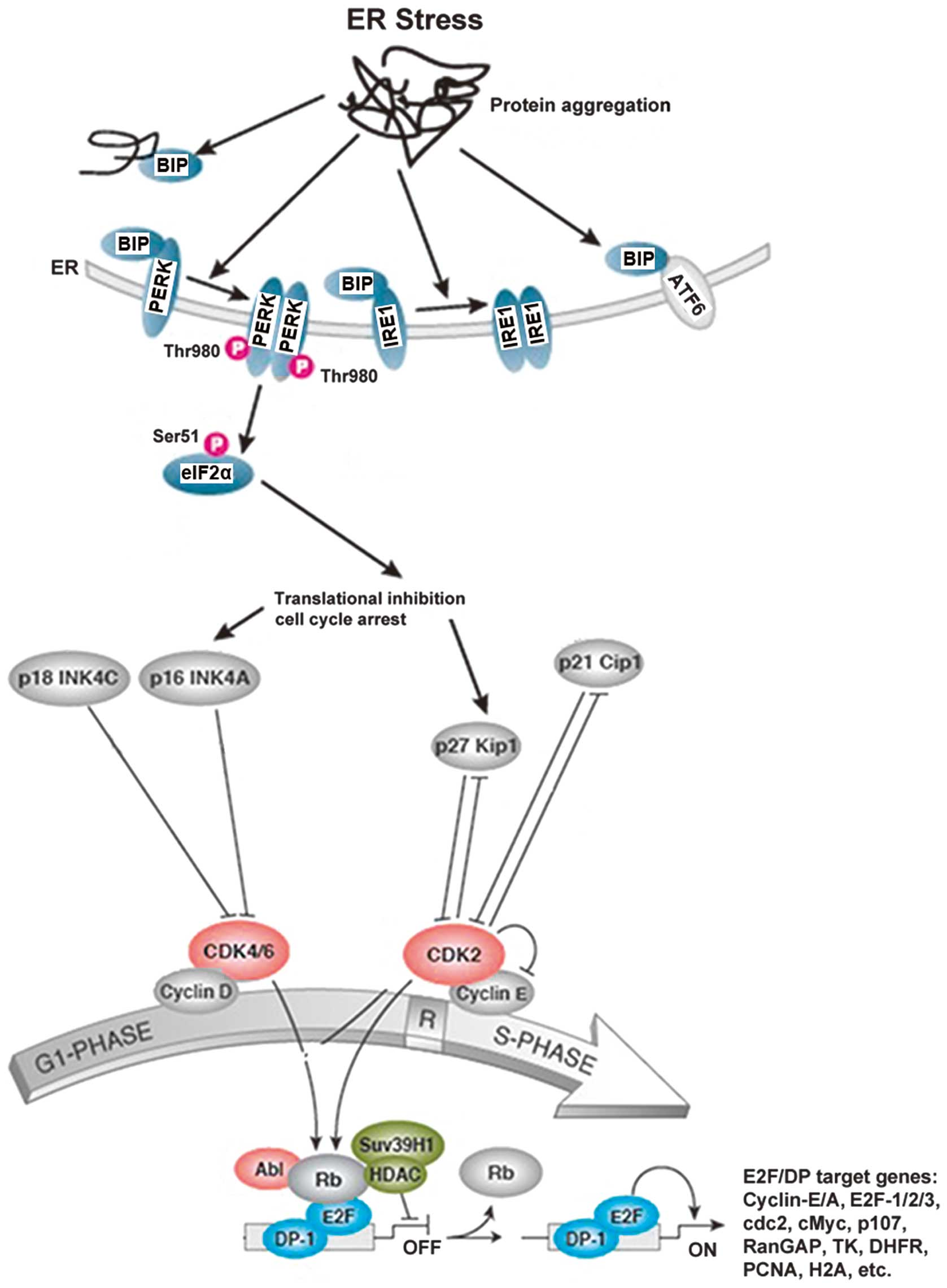 glycyrrhetinic acid induces g1 phase cell cycle arrest in human non